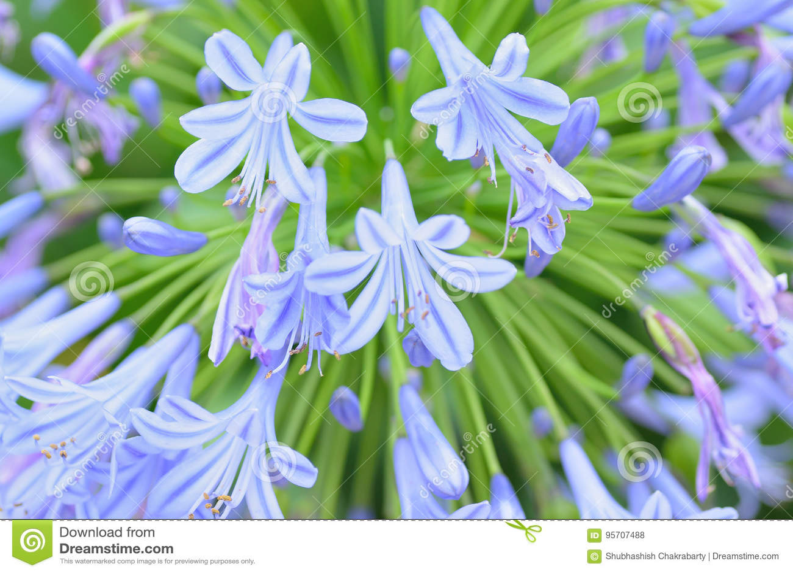 Macro details of white blue lily flowers stock photo image of royalty free stock photo izmirmasajfo