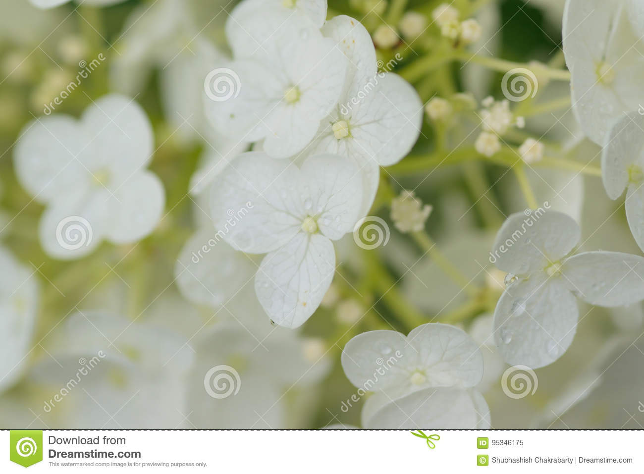 Macro Details Of White Colored Hydrangea Flowers With Water Droplets