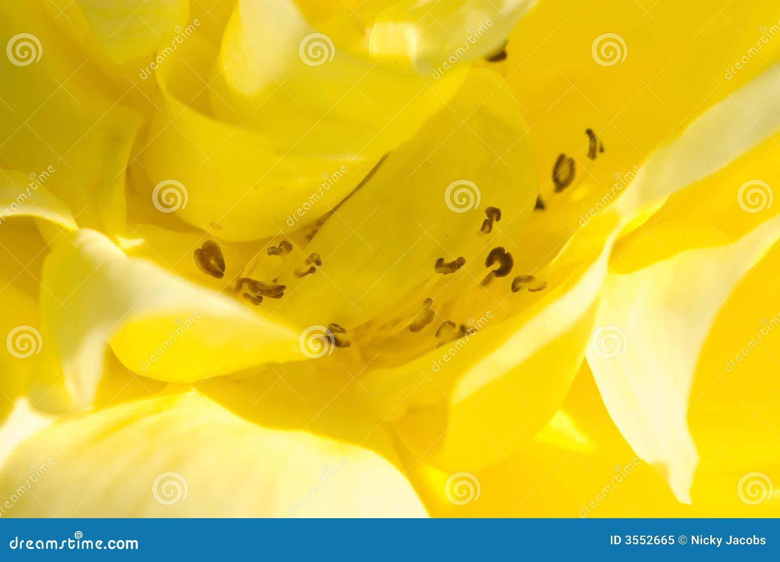 Macro di rosa di colore giallo