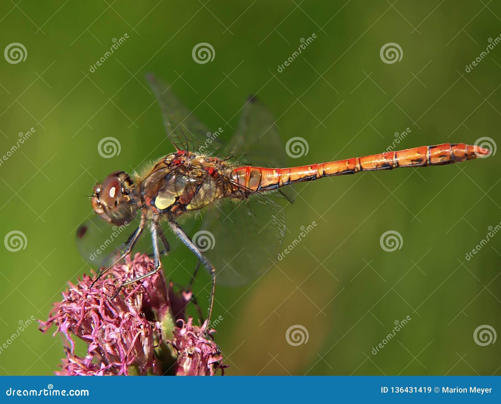 Macro di una libellula sorridente della brughiera su un fiore