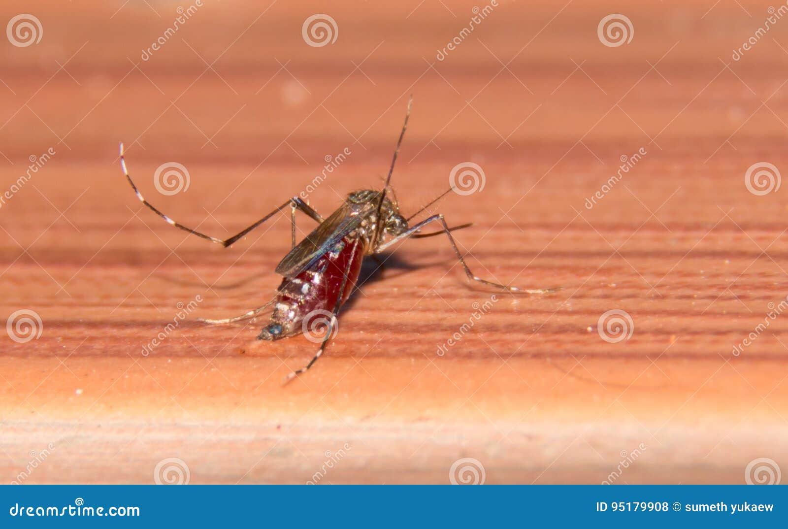 Macro Di He Zanzara Che Succhia Il Sangue Pieno, Zanzara