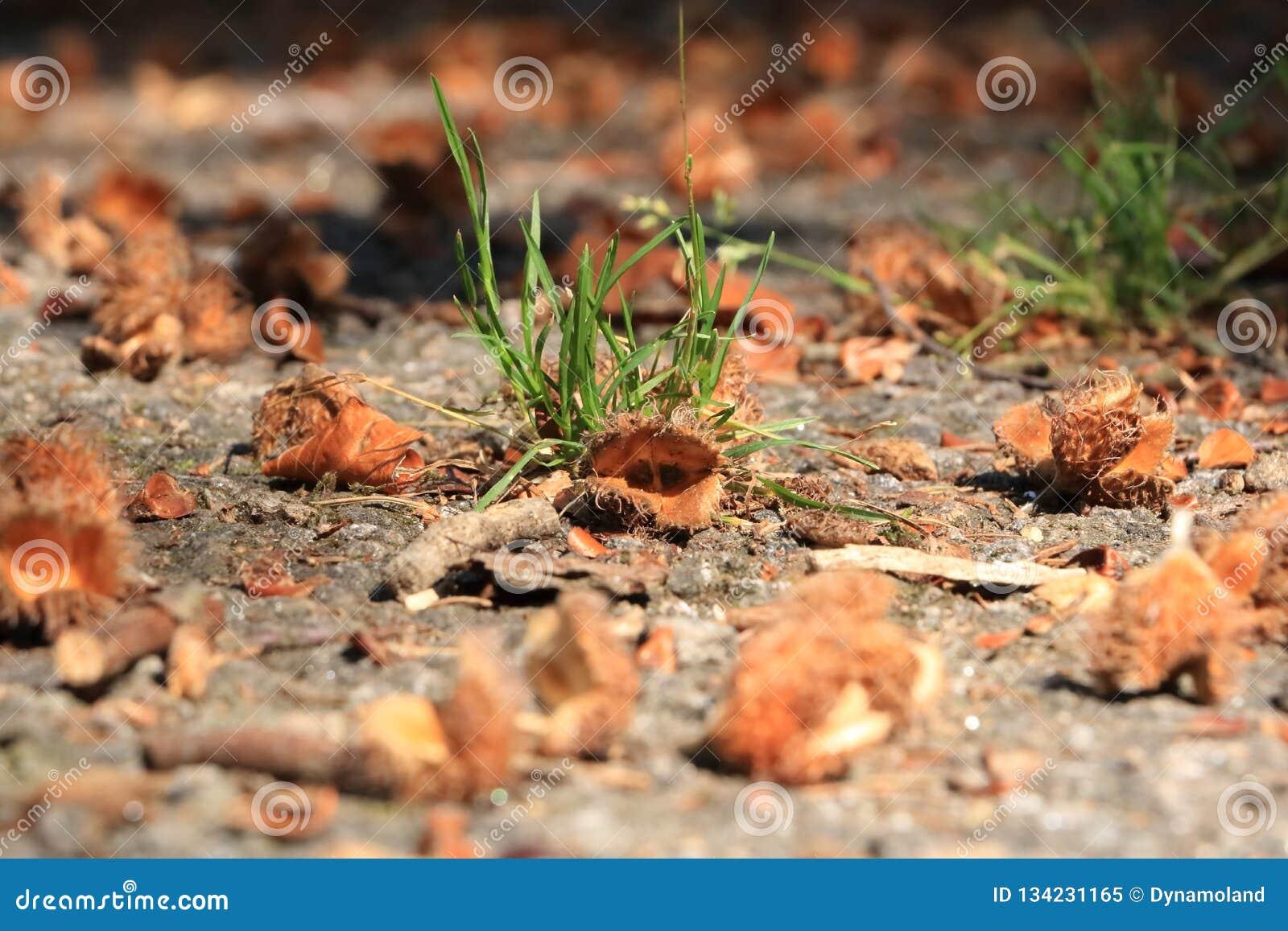 Macro do fruto da faia de Brown no outono no assoalho