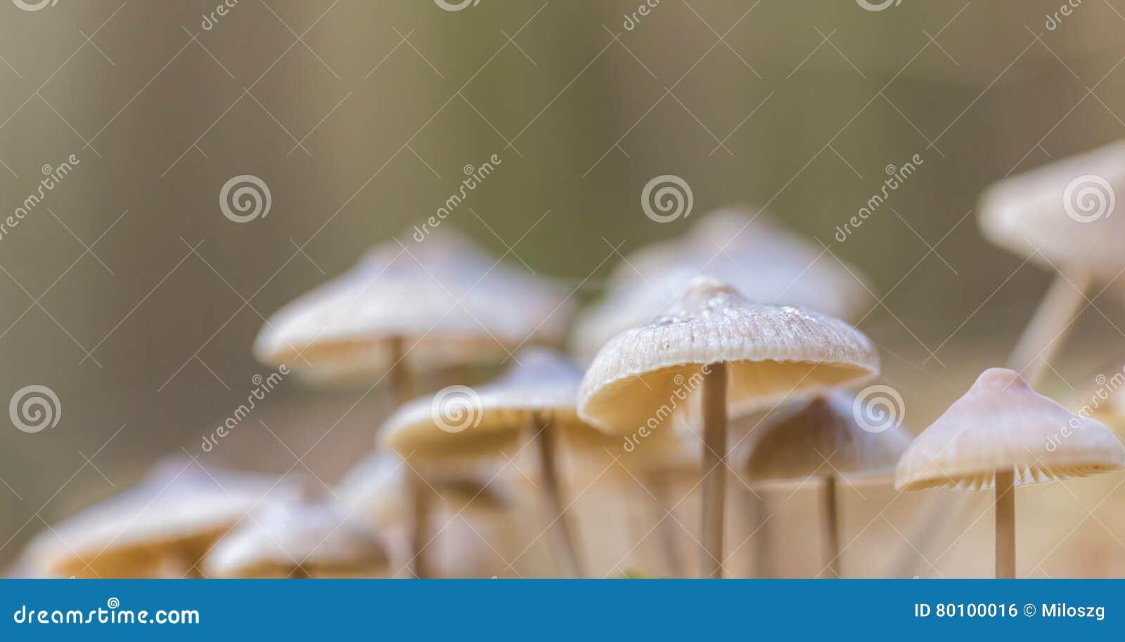 Macro dos cogumelos uneatable pequenos que crescem na floresta do outono