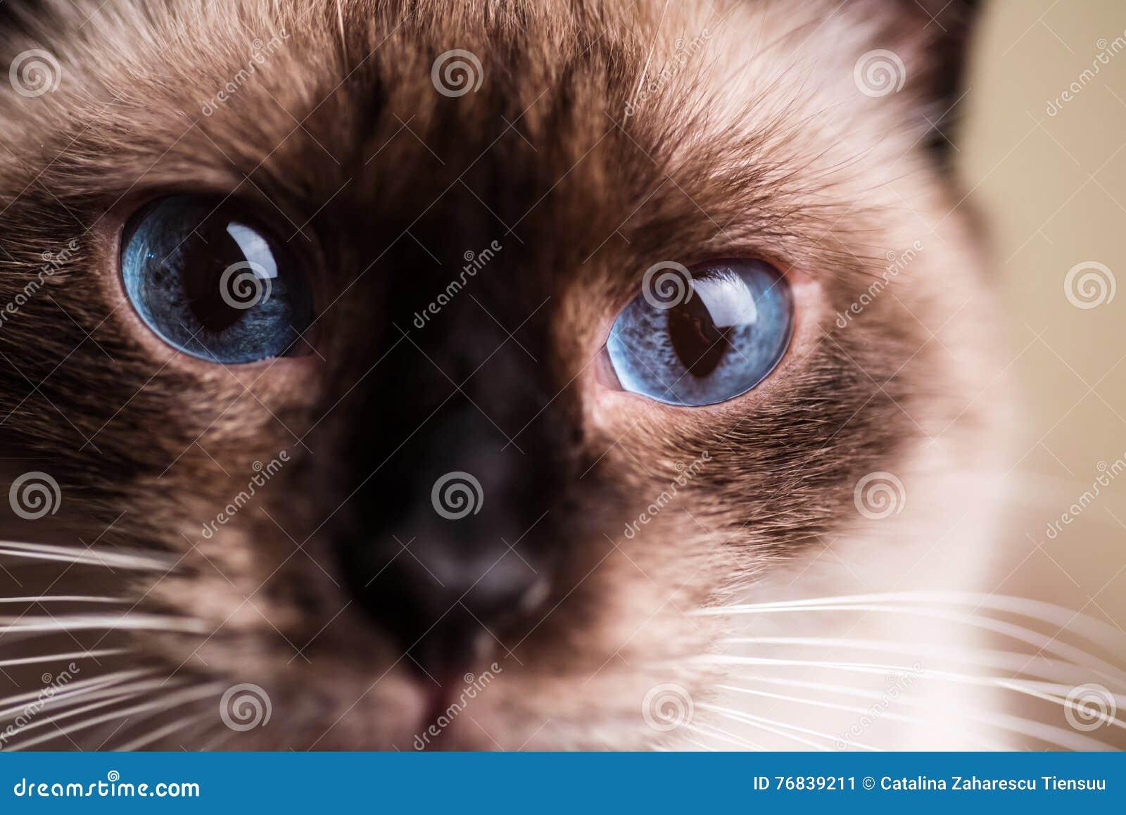 Macro dos olhos de gato azul
