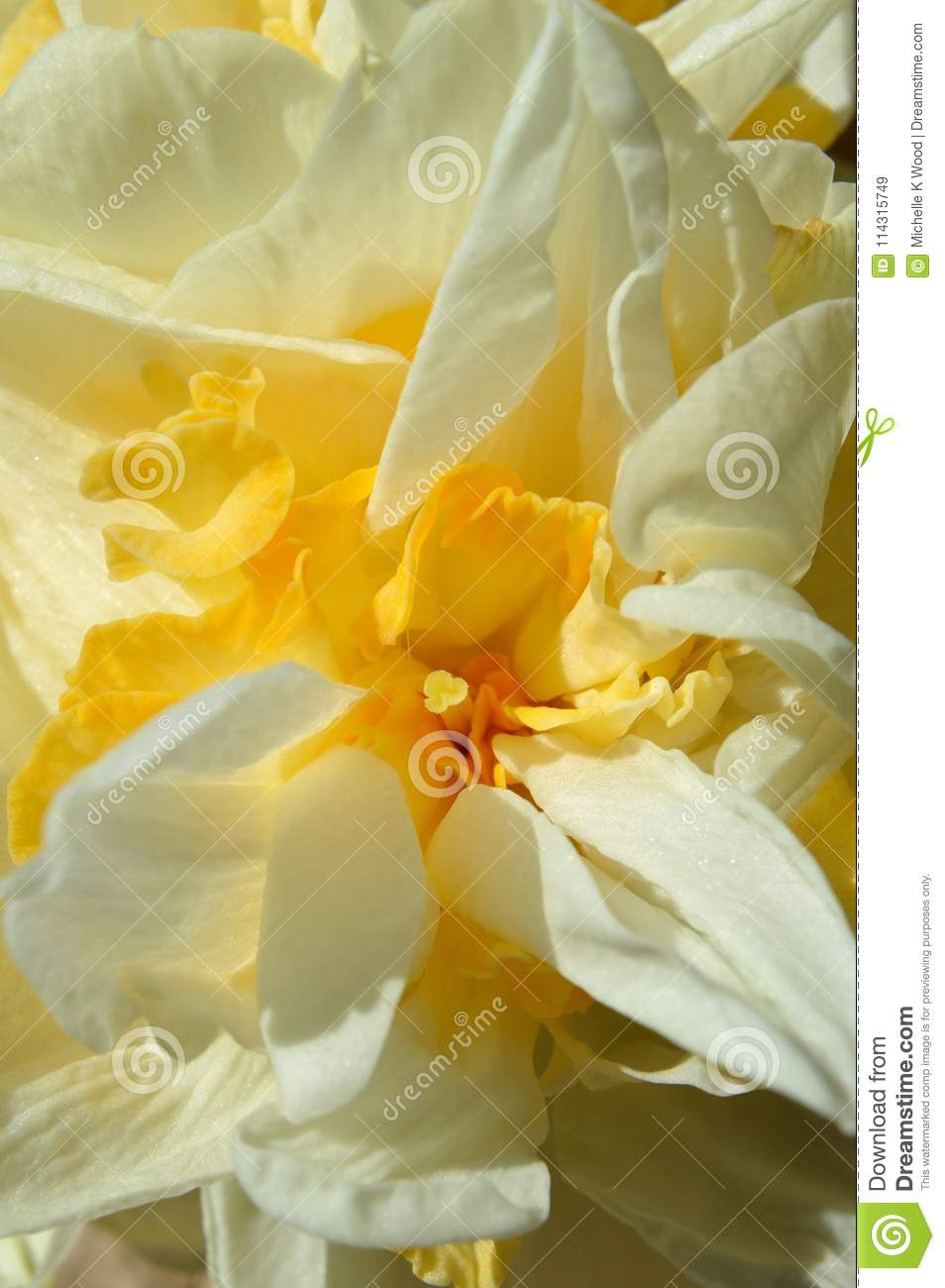 Macro Double Daffodil Narcissus White And Yellow Flower Stock Image