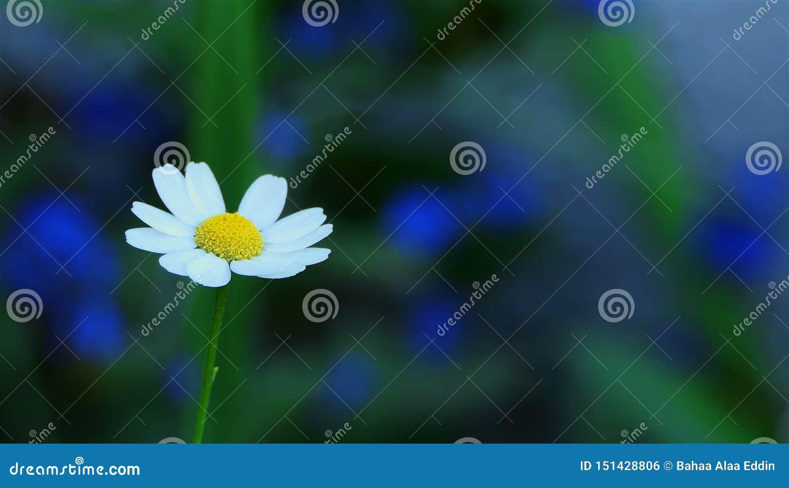 Macro fin de fleur de camomille  Fleurs de marguerite blanche Fond de nature avec le copyspace pré, botanique et biologie de fleu