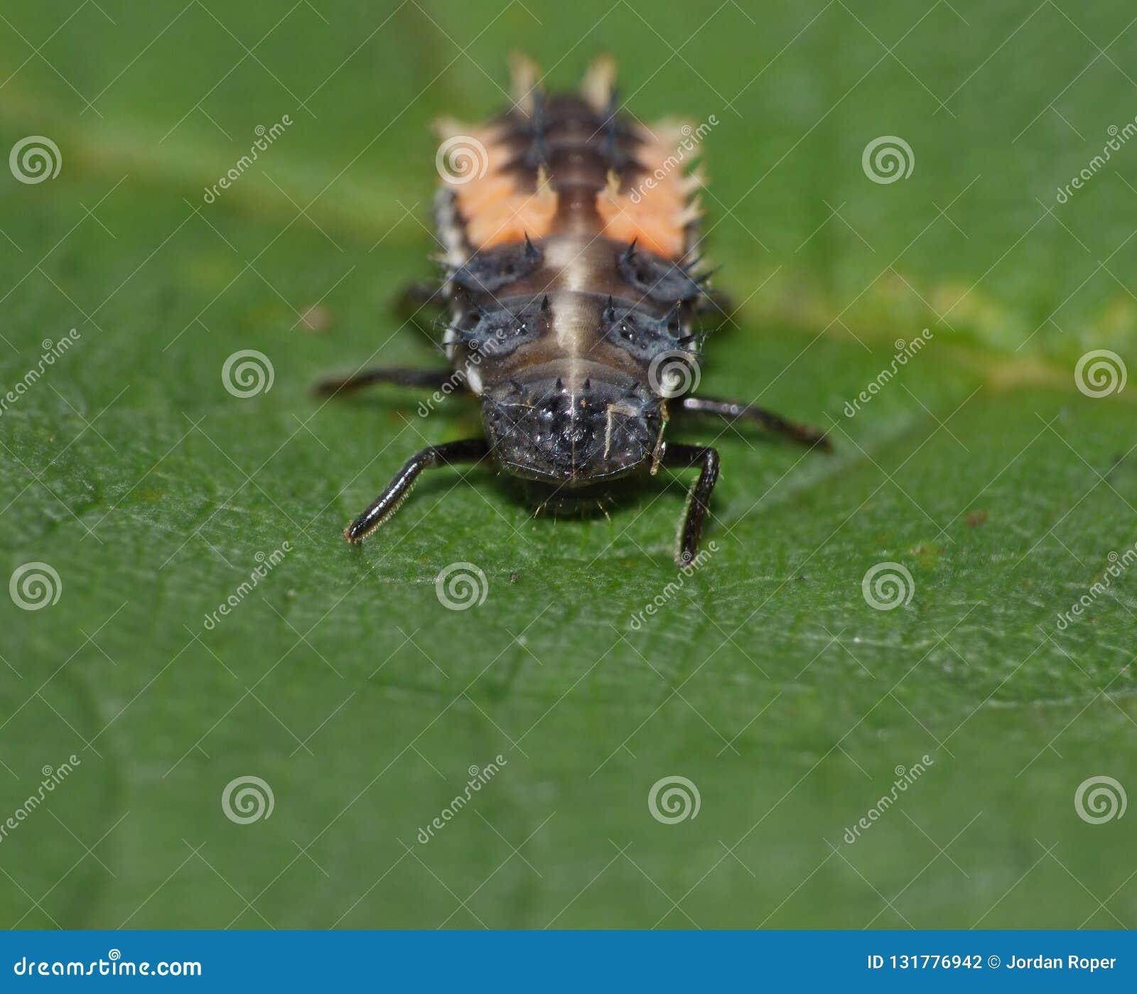 Macro fin tirée d une coccinelle/de larves de coccinelle sur une feuille dans le jardin, photo rentrée le R-U