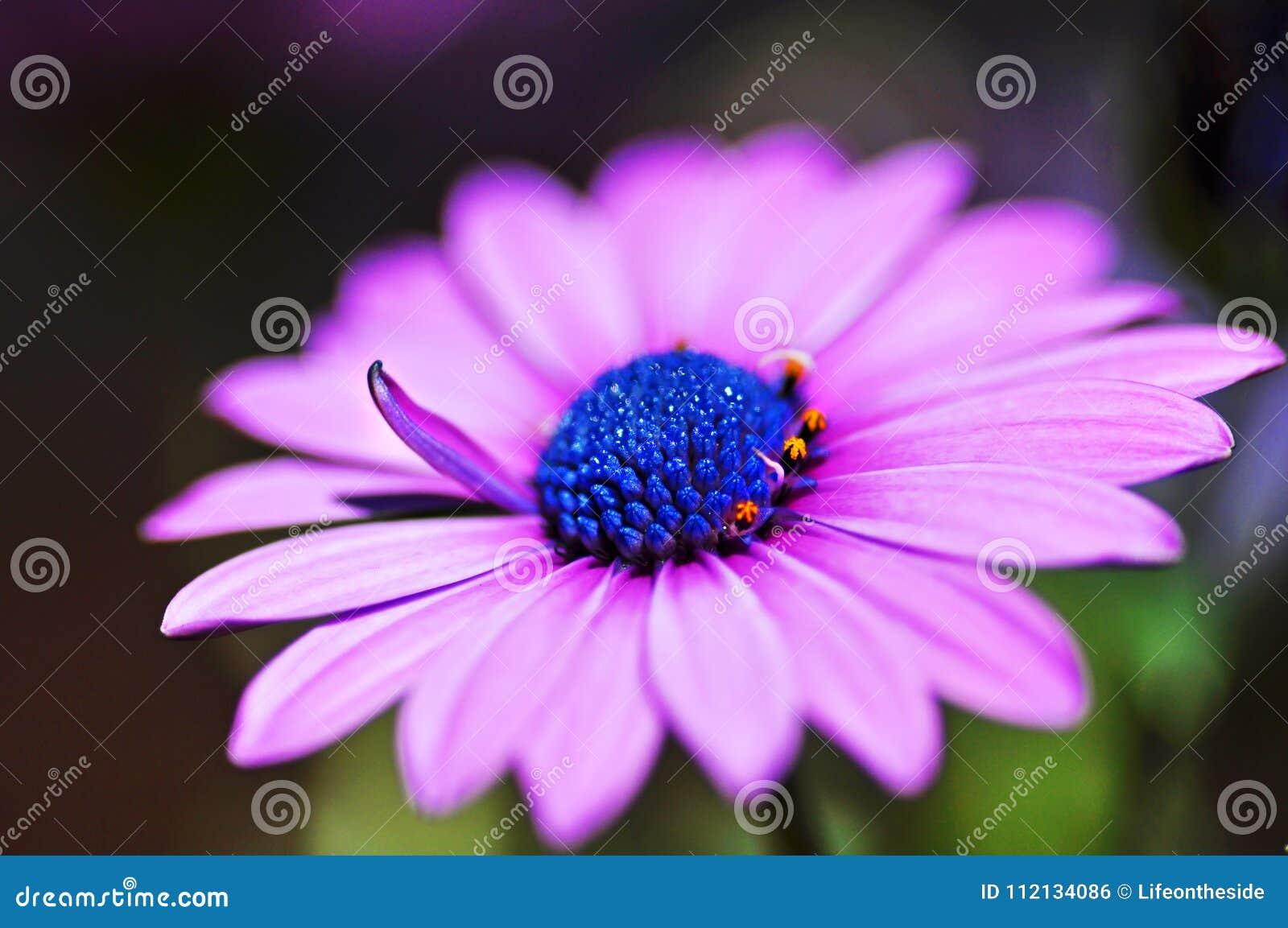 Macro fleur africaine pourpre violette en gros plan de marguerite d osteospermum de cap