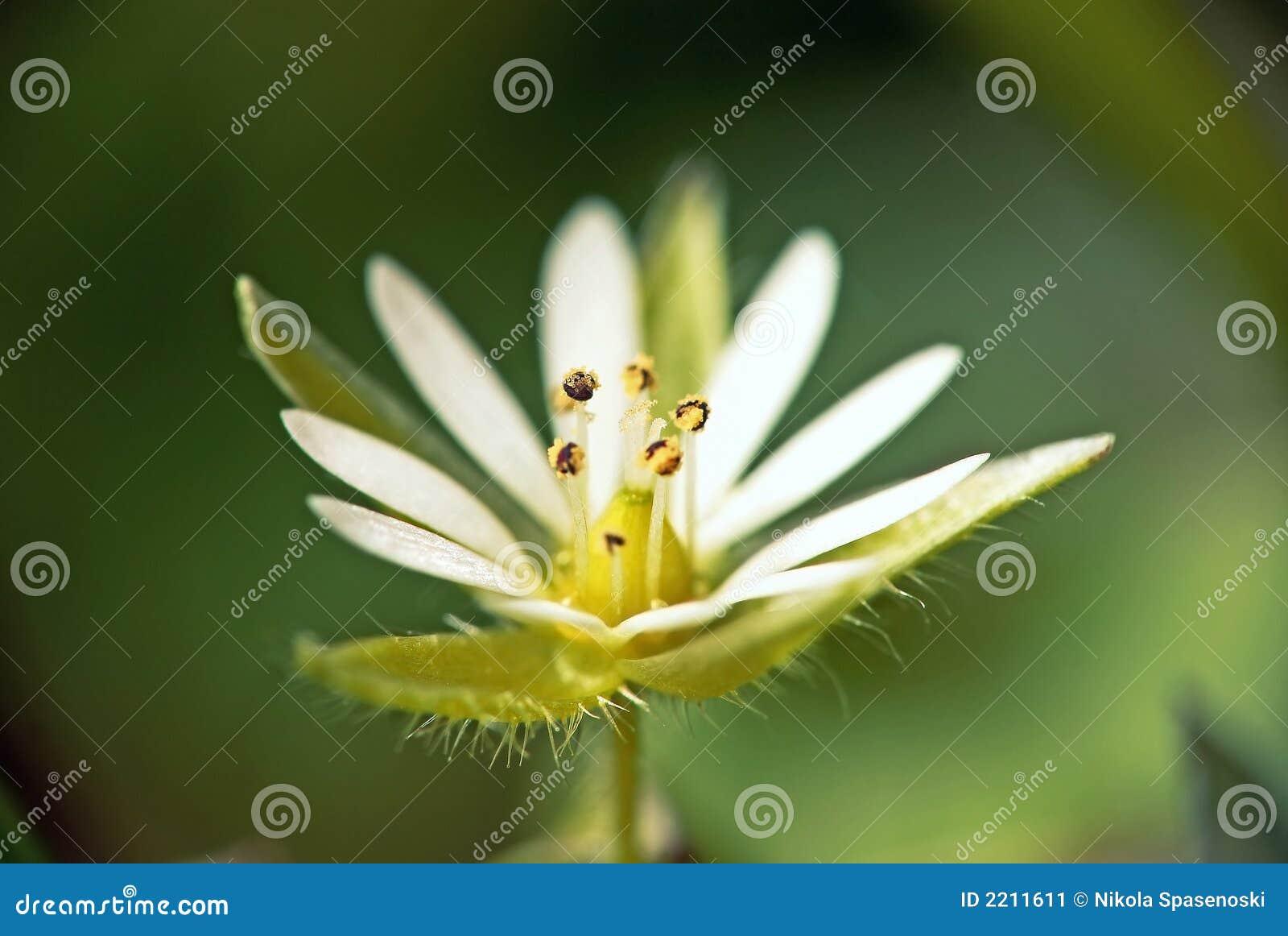 Macro fleur blanche