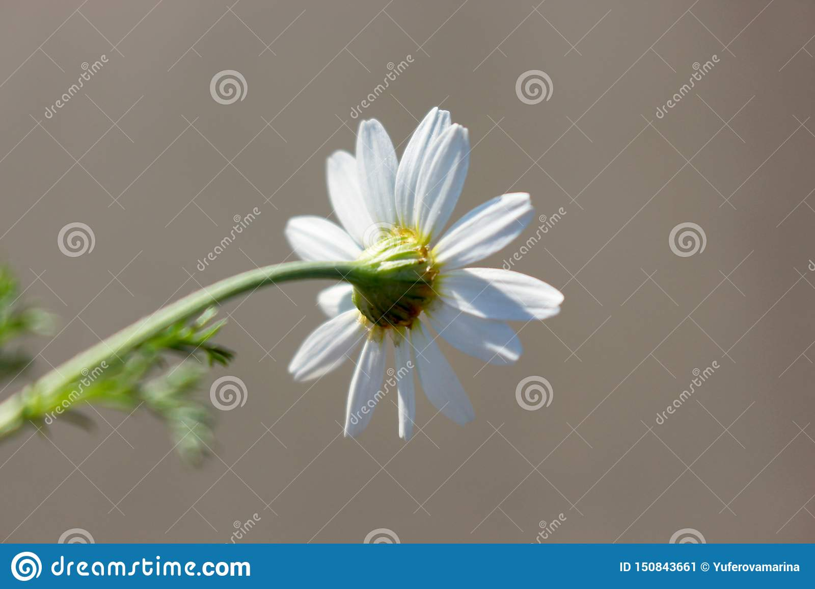 Macro foto della camomilla bianca di estate luminosa sul gambo