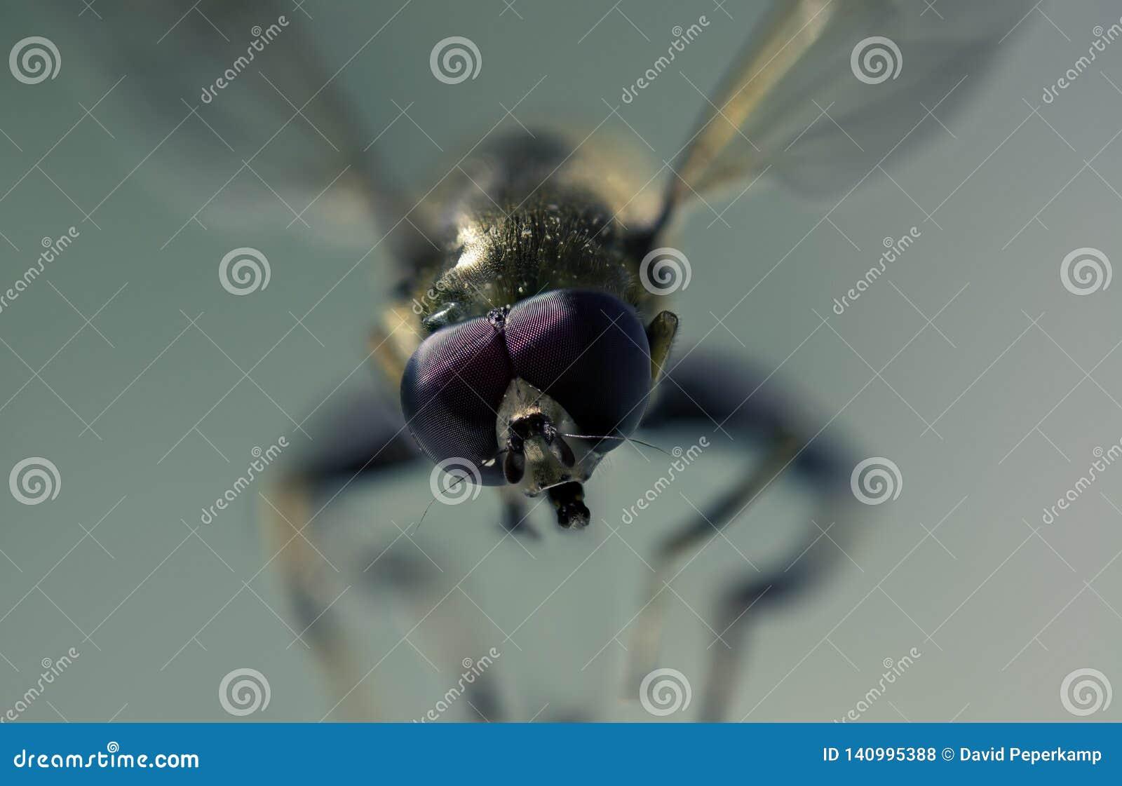 Macro foto di una mosca