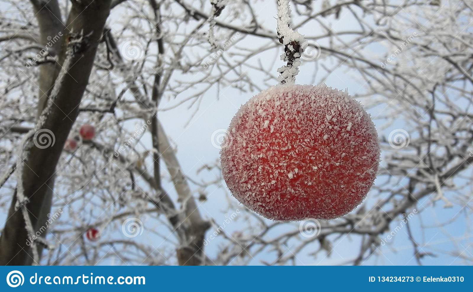Frozen apple covered with snow on a branch in the winter garden. Macro of frozen wild apples covered with hoarfrost.