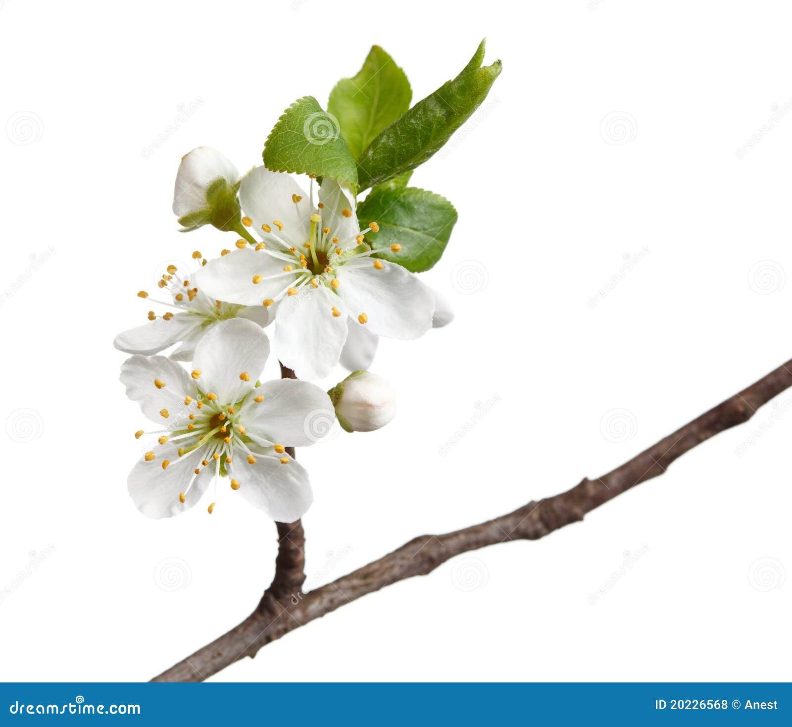 Macro Of Fruit-tree Blossom Isolated On White Royalty Free ...