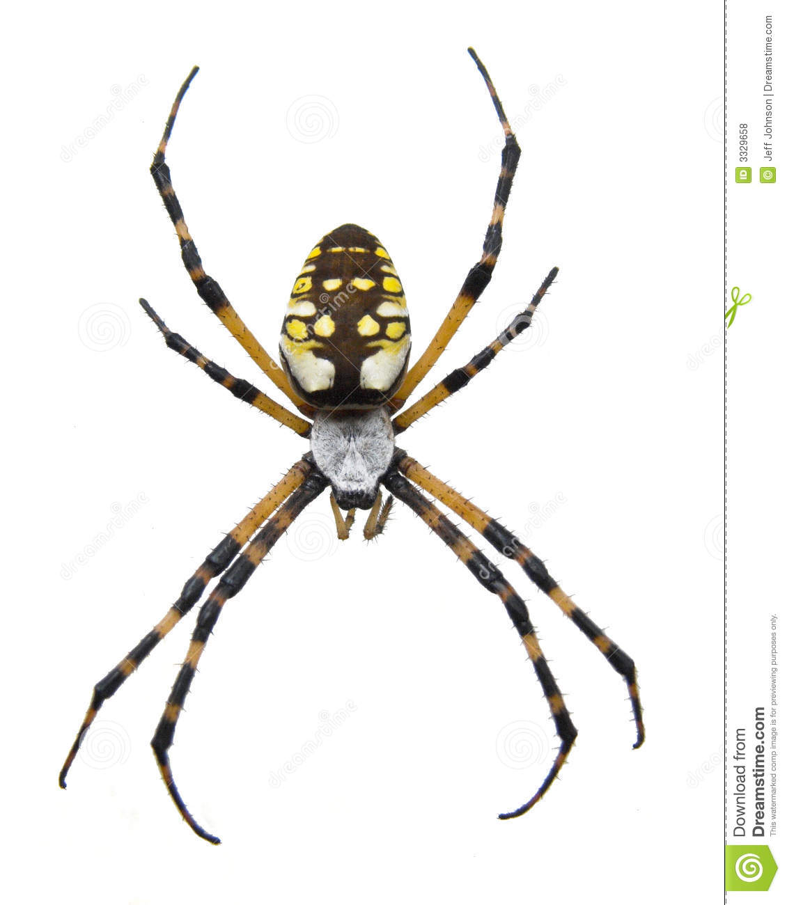 Macro of a garden spider stock photo image of scary yellow 3329658 for Yellow garden spider poisonous