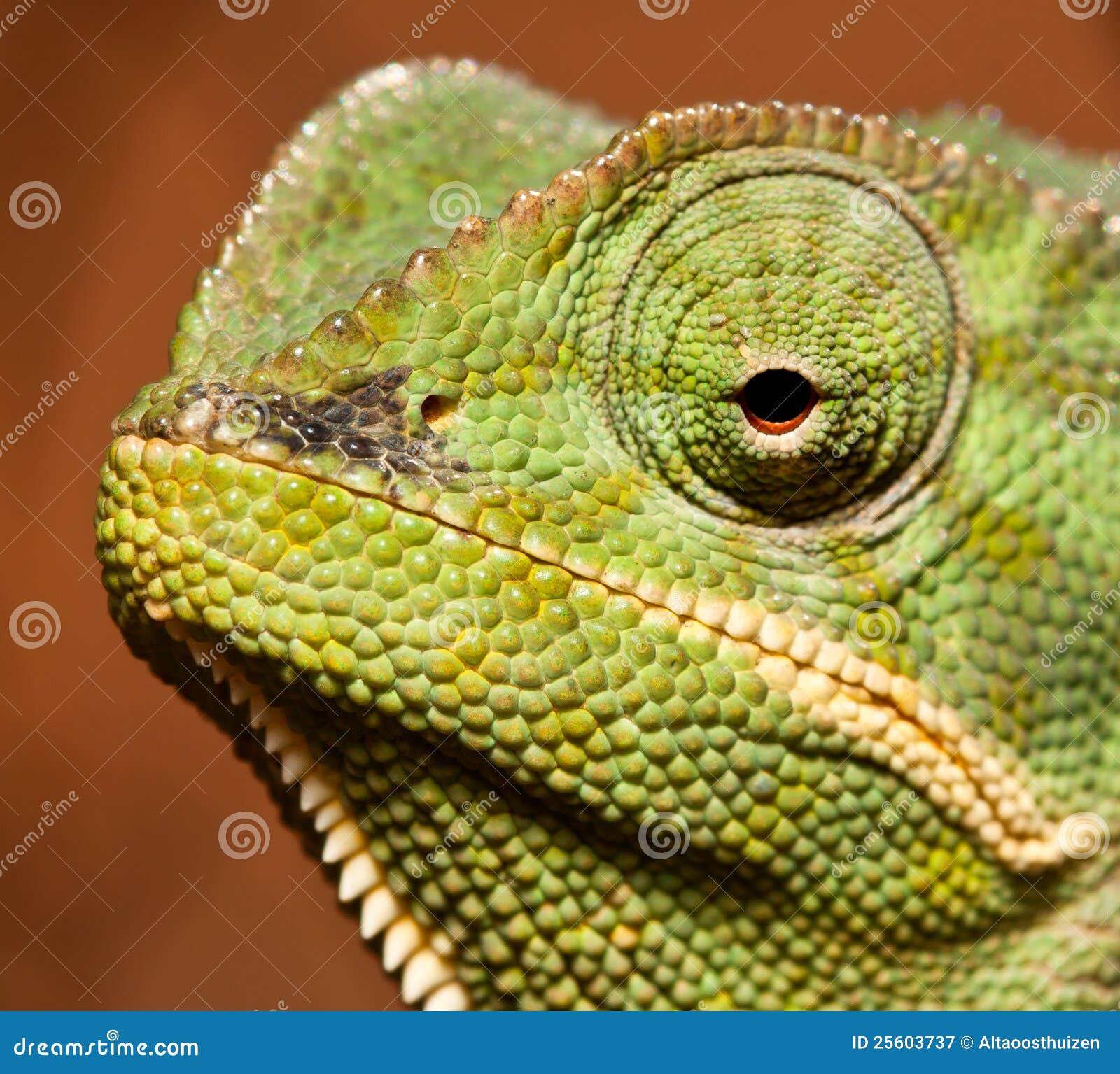 Macro Of Green Cameleon Royalty Free Stock Photography