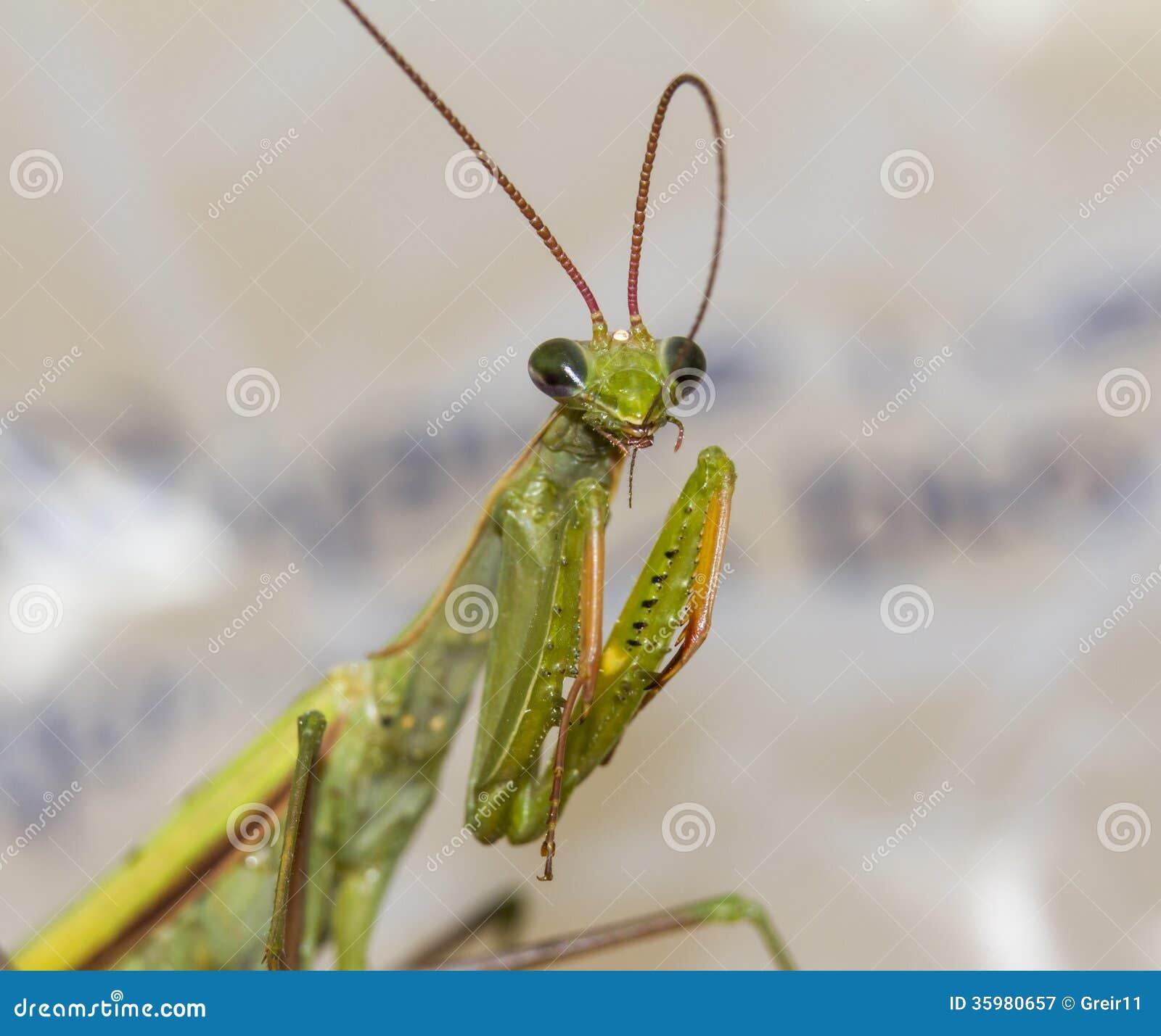 Macro Green Praying Mantis Bites Its Antennae Stock Image Image