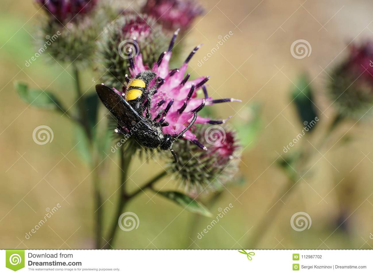 Macro of a hanging Caucasian wasp Scolia hirta on a flower thistle