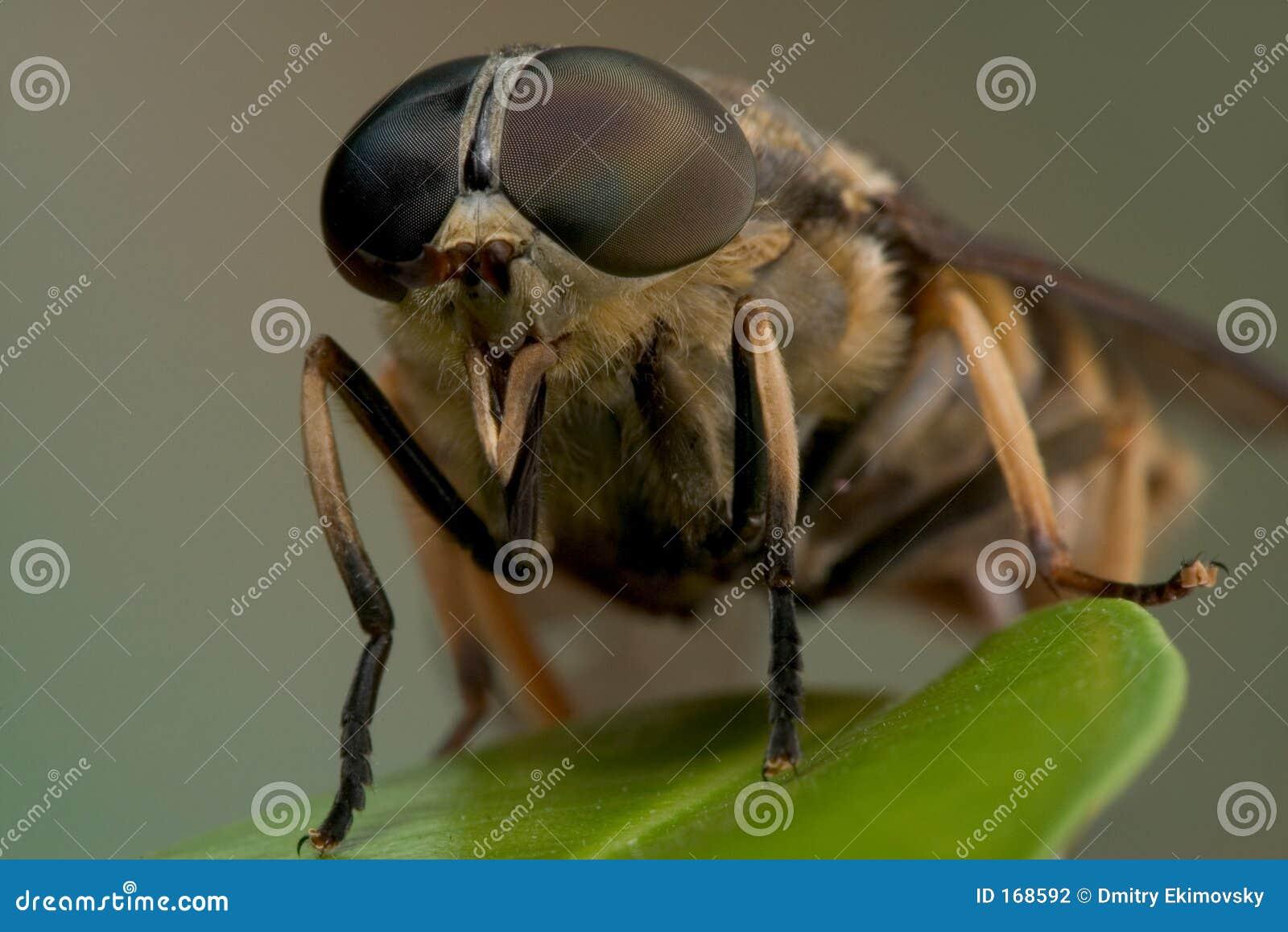 Macro horse-fly