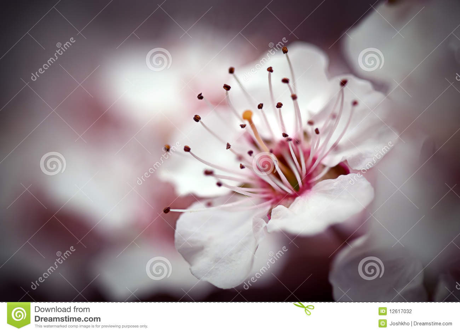 Macro I del flor de cereza