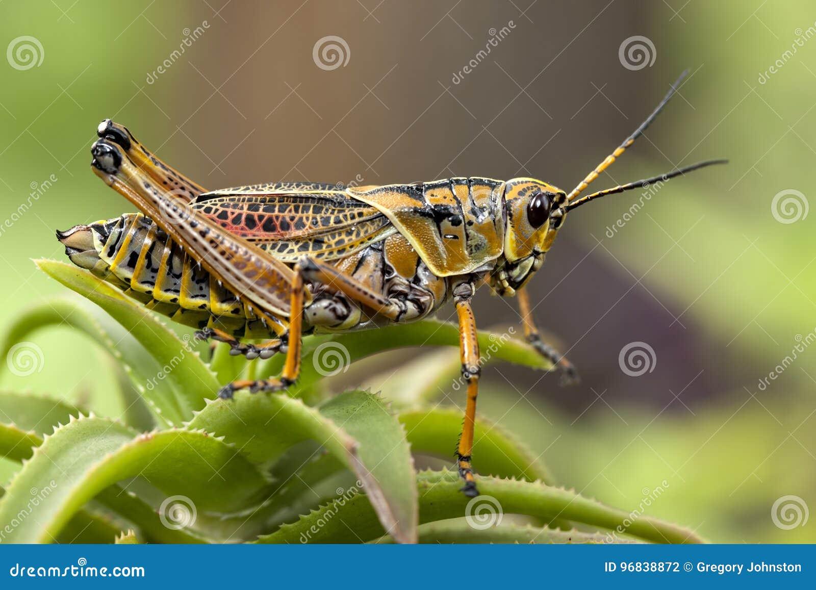 Macro image d une sauterelle jaune