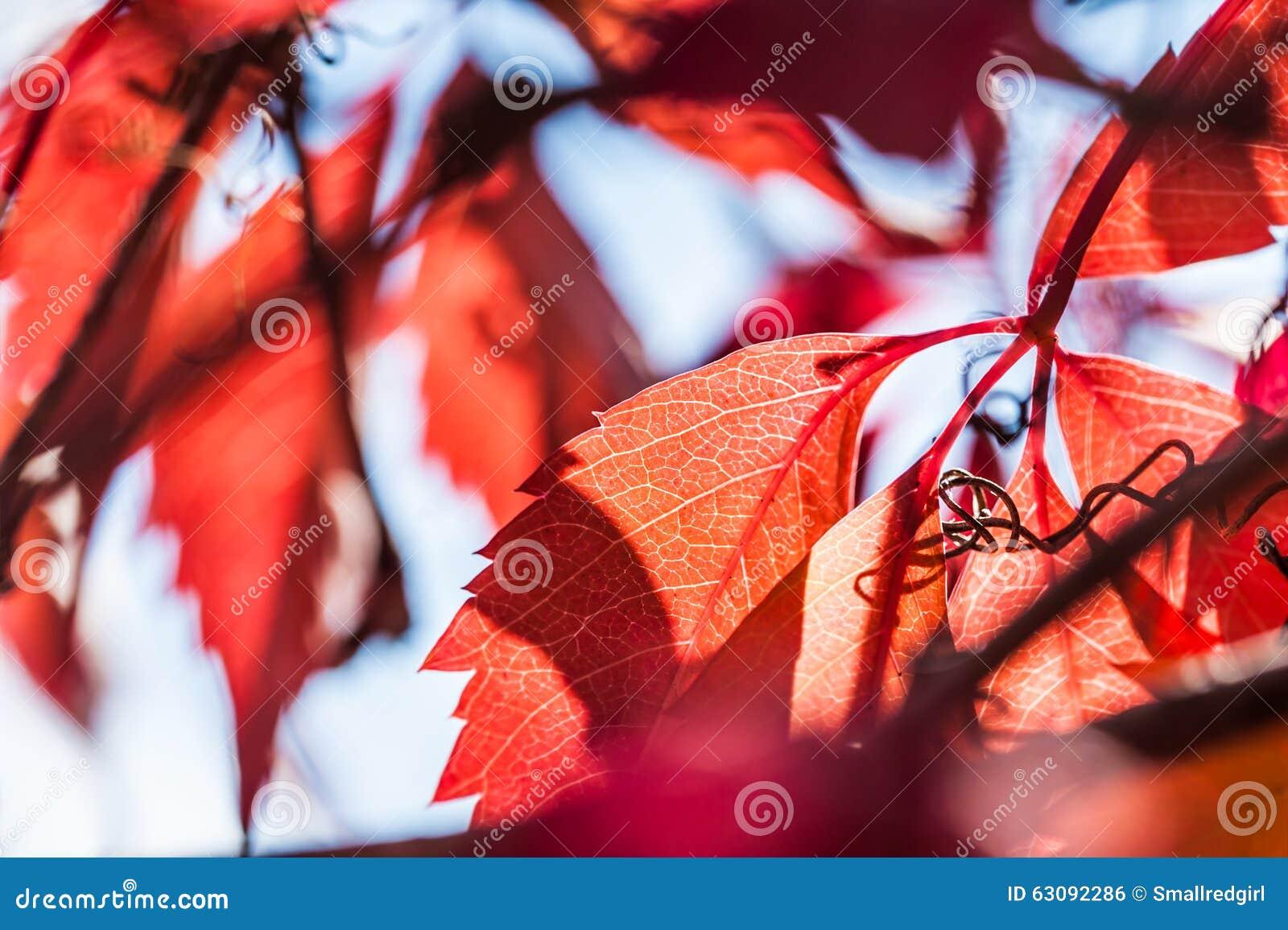 Download Macro Image Des Feuilles D'automne Rouges Photo stock - Image du fragile, raisin: 63092286