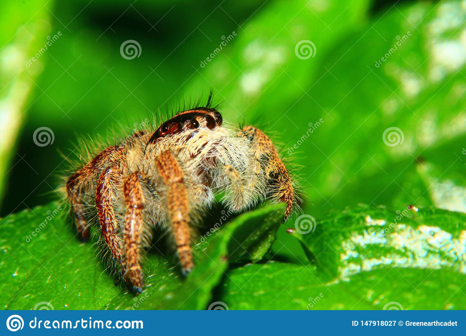 A macro image of Jumping spider Salticidae, Hyllus diardi female with good sharpen and detailed, hair, eye, and face very clear