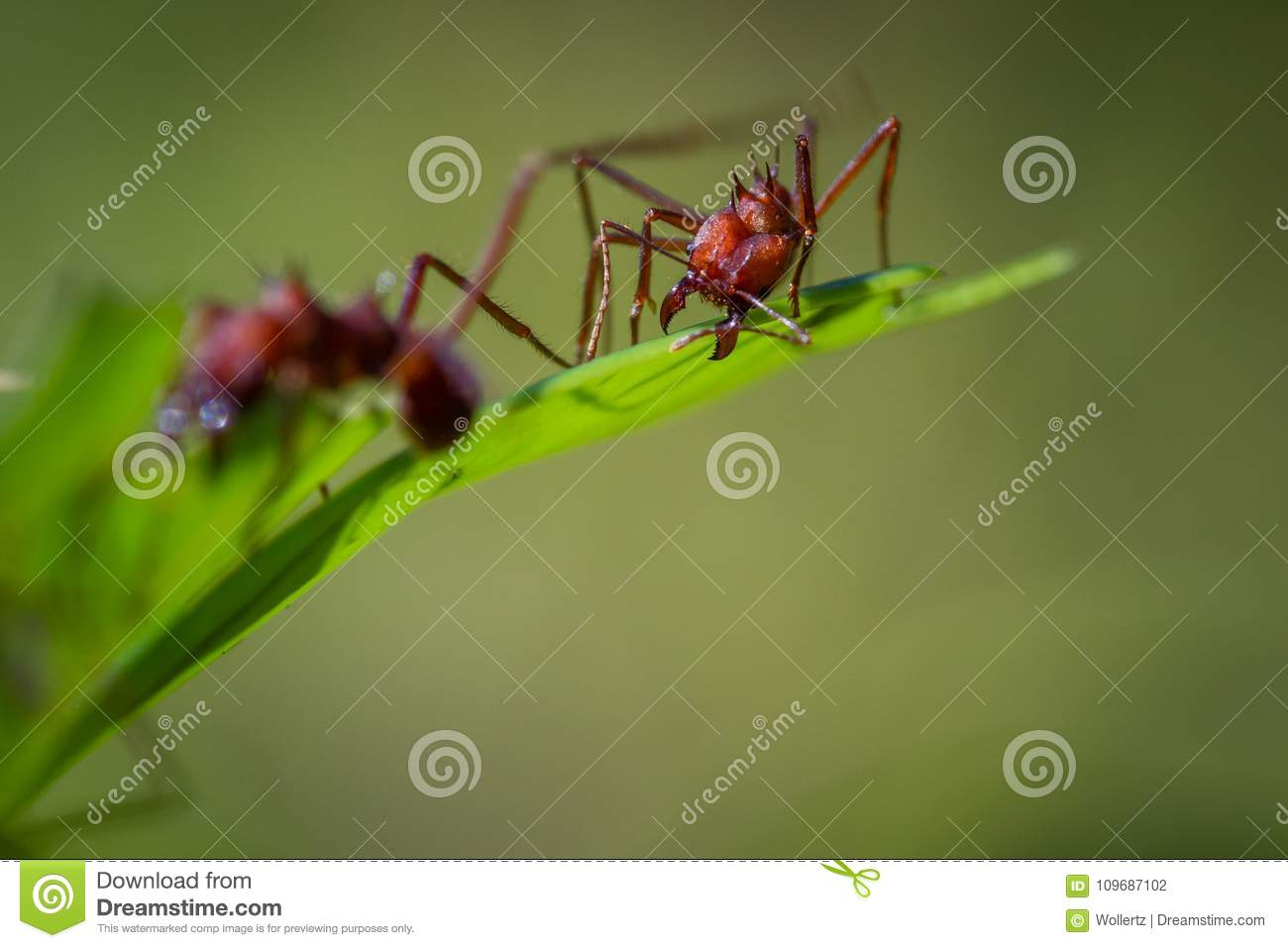 Leaf cutter ants stock photo  Image of destructive, outdoor