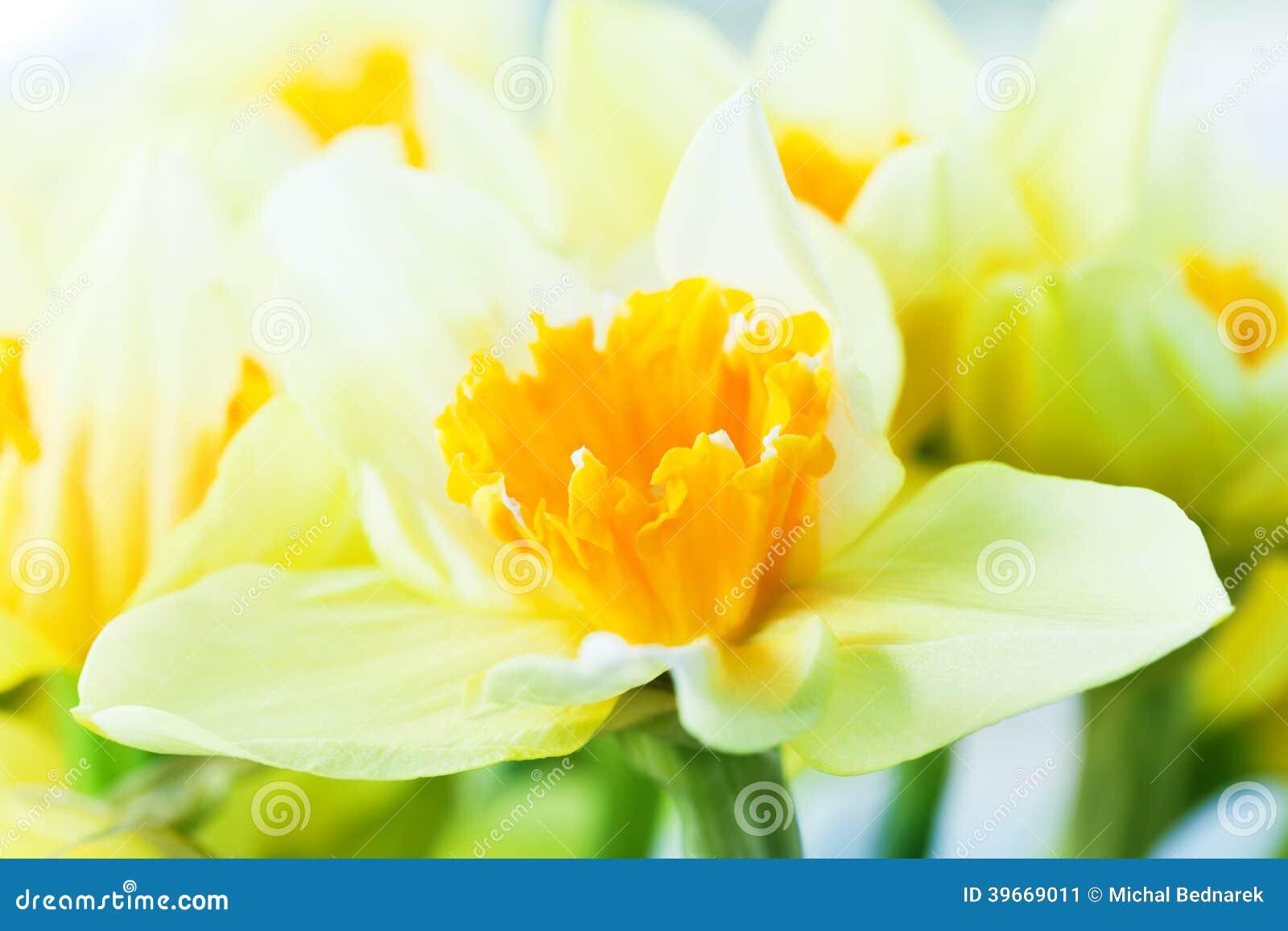 Macro image of spring flower, jonquil, daffodil.