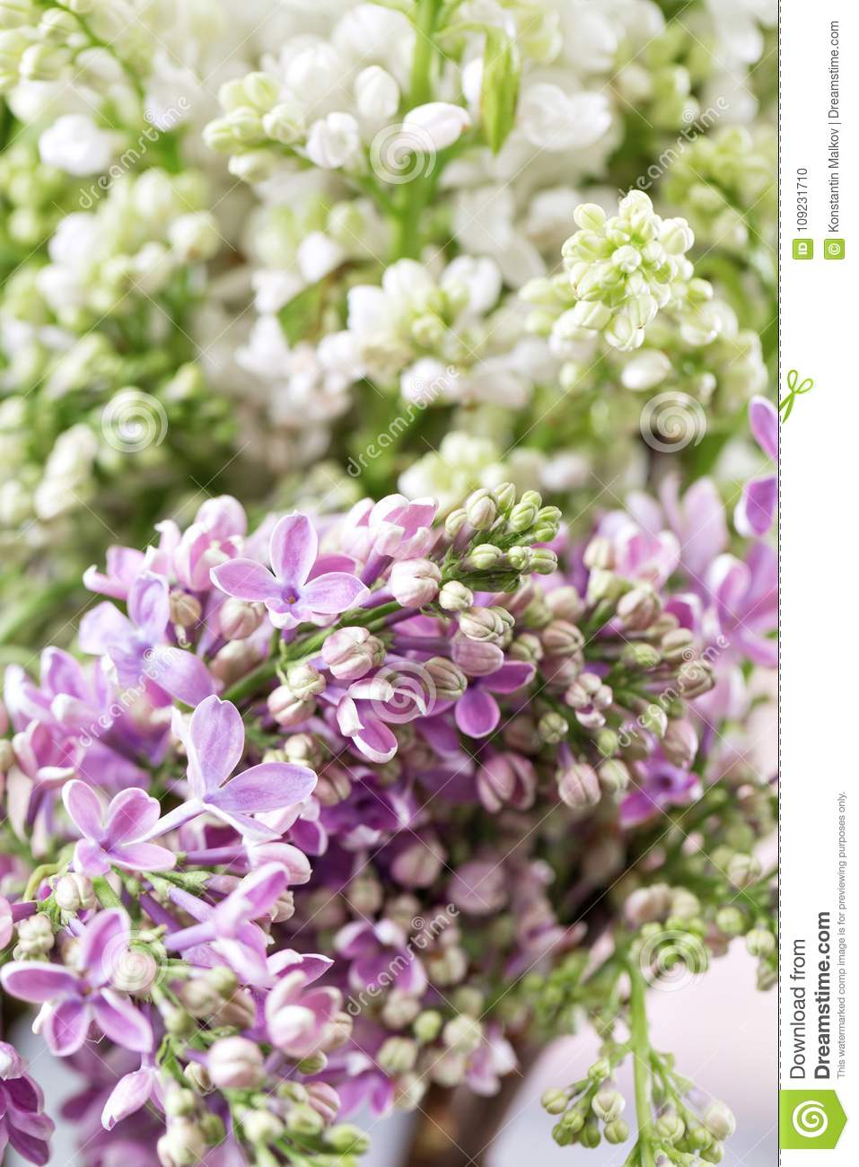 Macro Image Of Spring Violet And White Lilac Flowers Abstract Soft