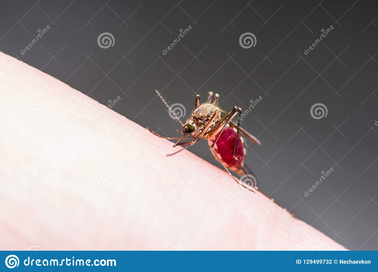 Macro infectada virus del insecto de la fiebre amarilla, de la malaria o del mosquito de Zika