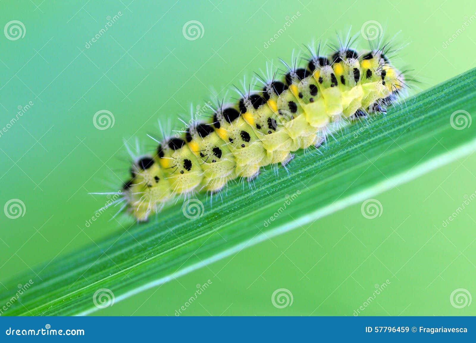 Macro jaune de chenille photo stock image 57796459 - Chenille verte et noire ...