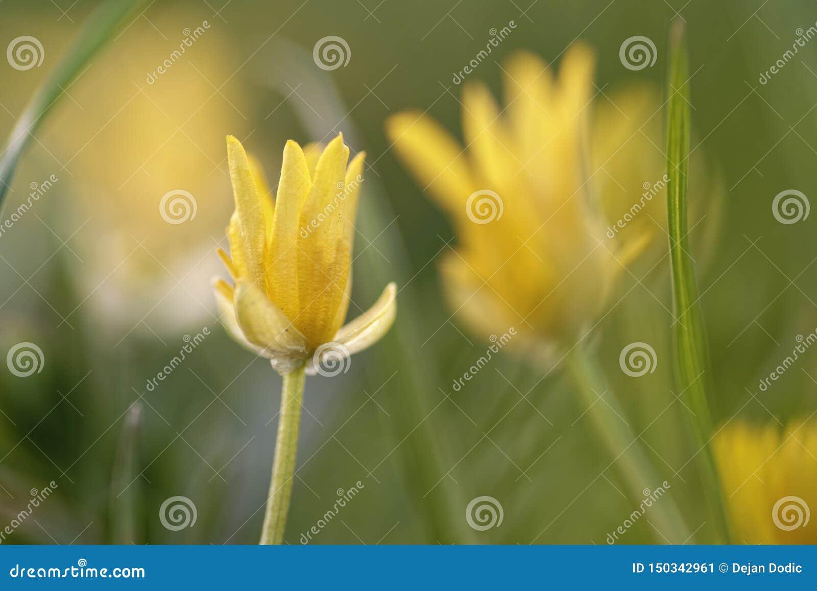 Macro jaune de fleurs de pré