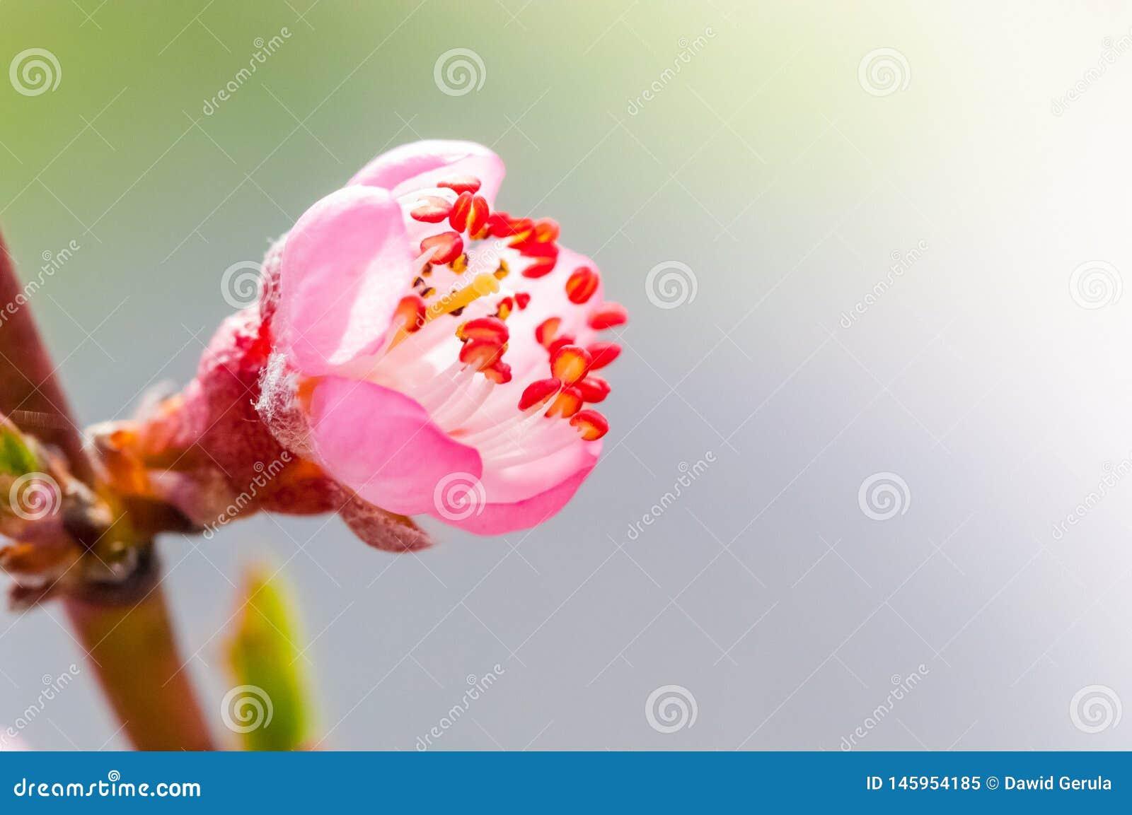 Macro joven del flor del cerezo