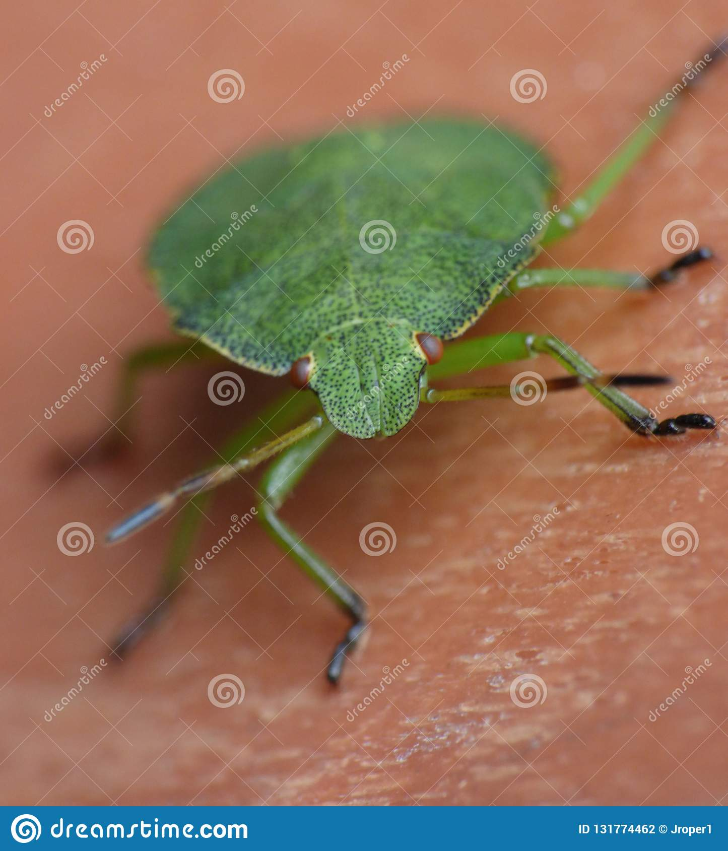 Macro close up of a green shield bug / Stink bug, photo taken in the UK