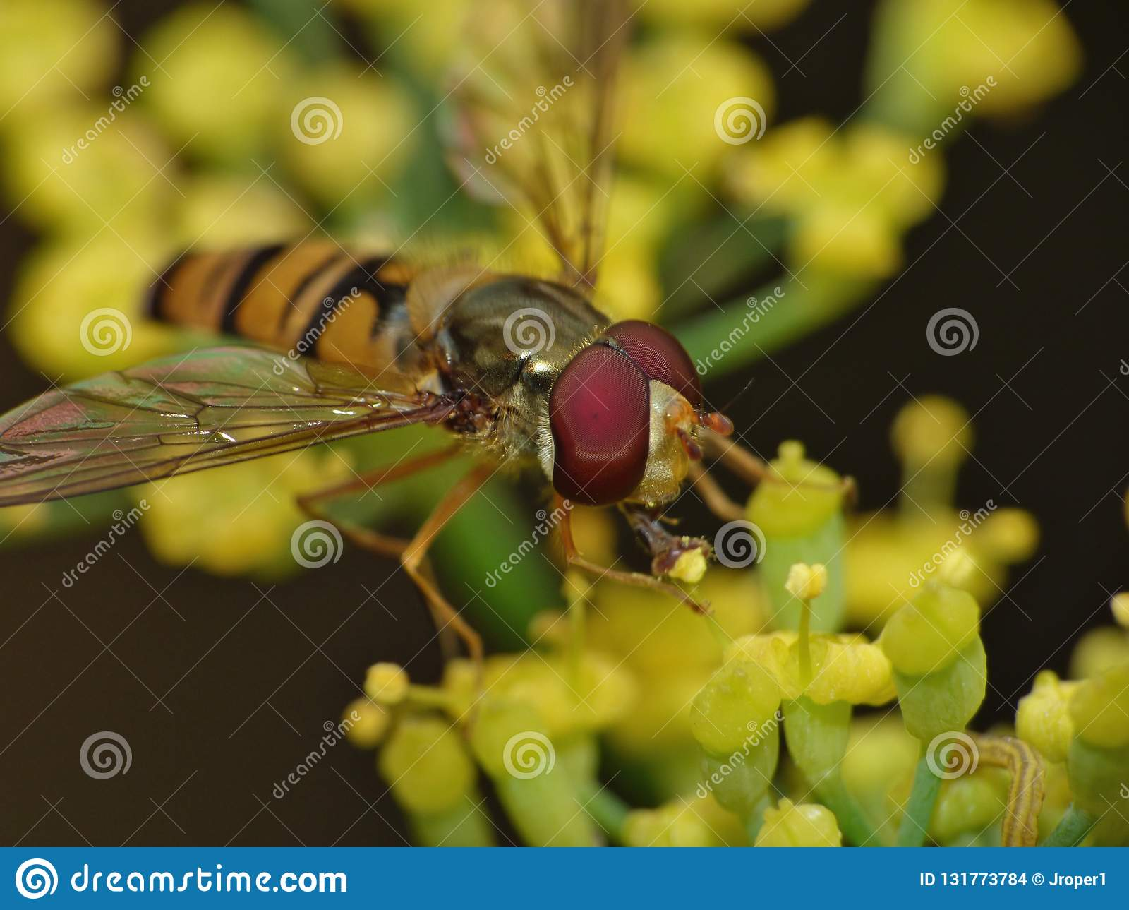 Macro lens close up of a hoverfly collecting pollen from the garden, photo taken in the UK