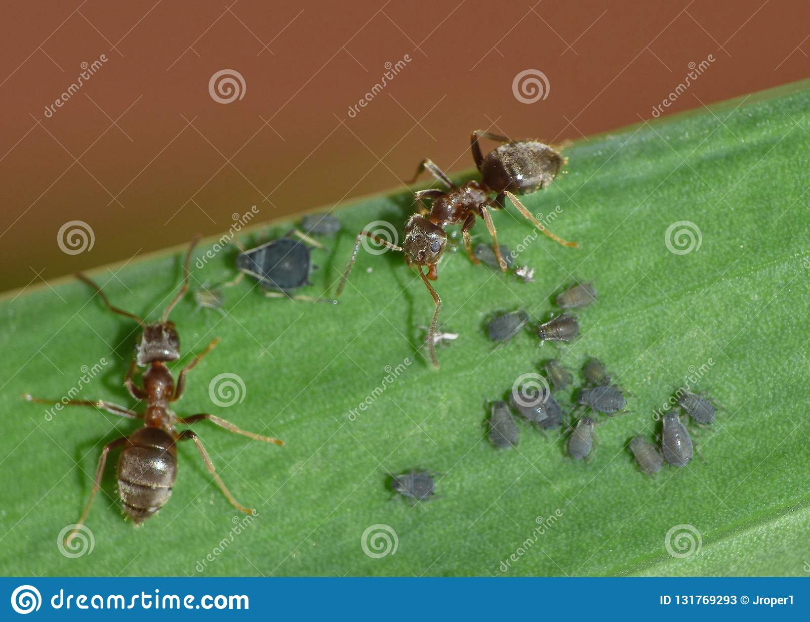 Macro Close Up Shot Of Ants With Aphids Working Together On A Leaf
