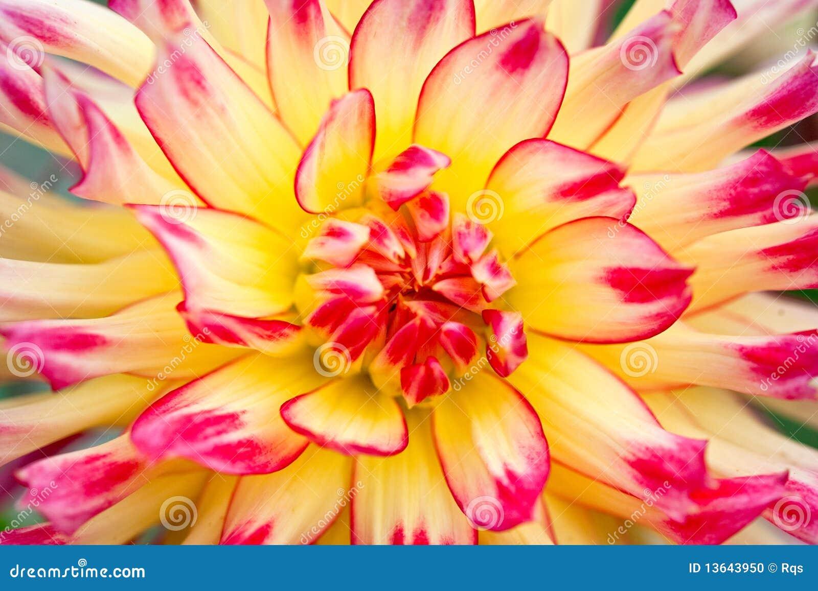 Macro mening van een gele bloemdahlia