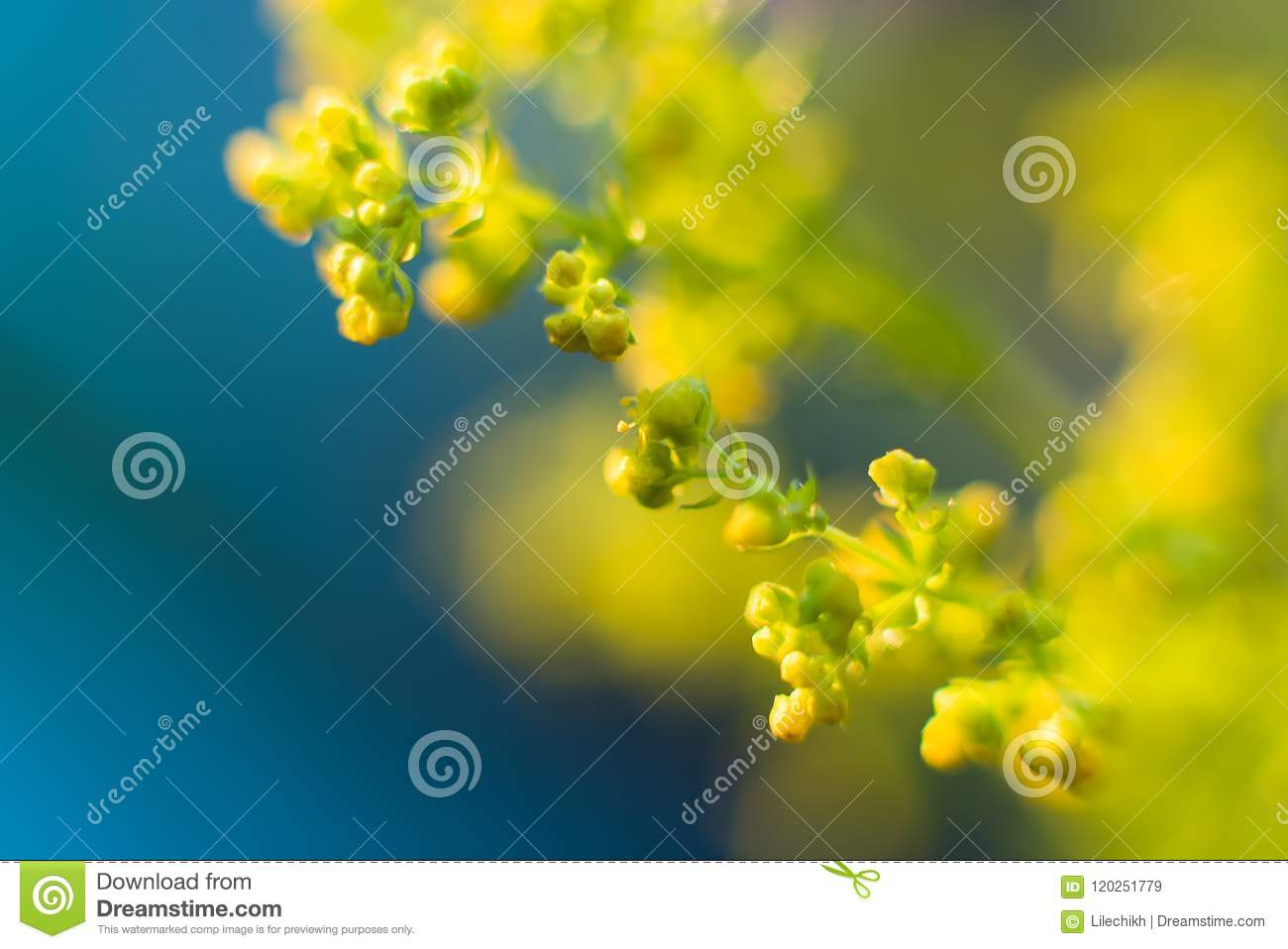 Small Yellow Flowers On A Blurred Background Field Flowers Stock