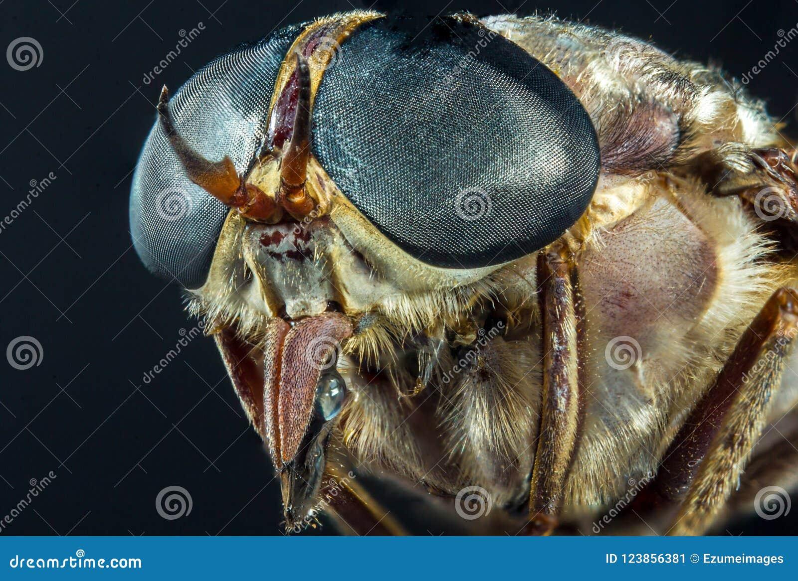 Macro mouche de cheval