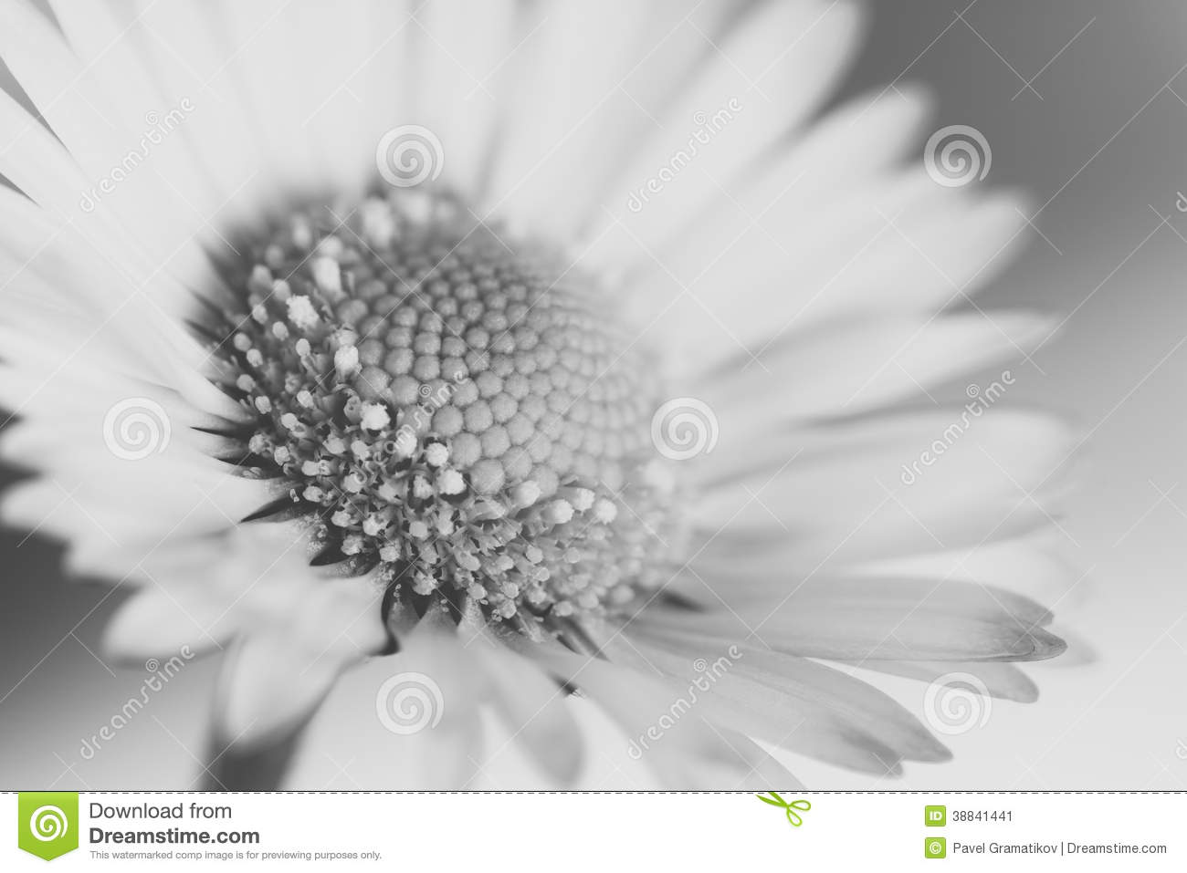 macro noir et blanc de fleur de marguerite image stock image 38841441. Black Bedroom Furniture Sets. Home Design Ideas