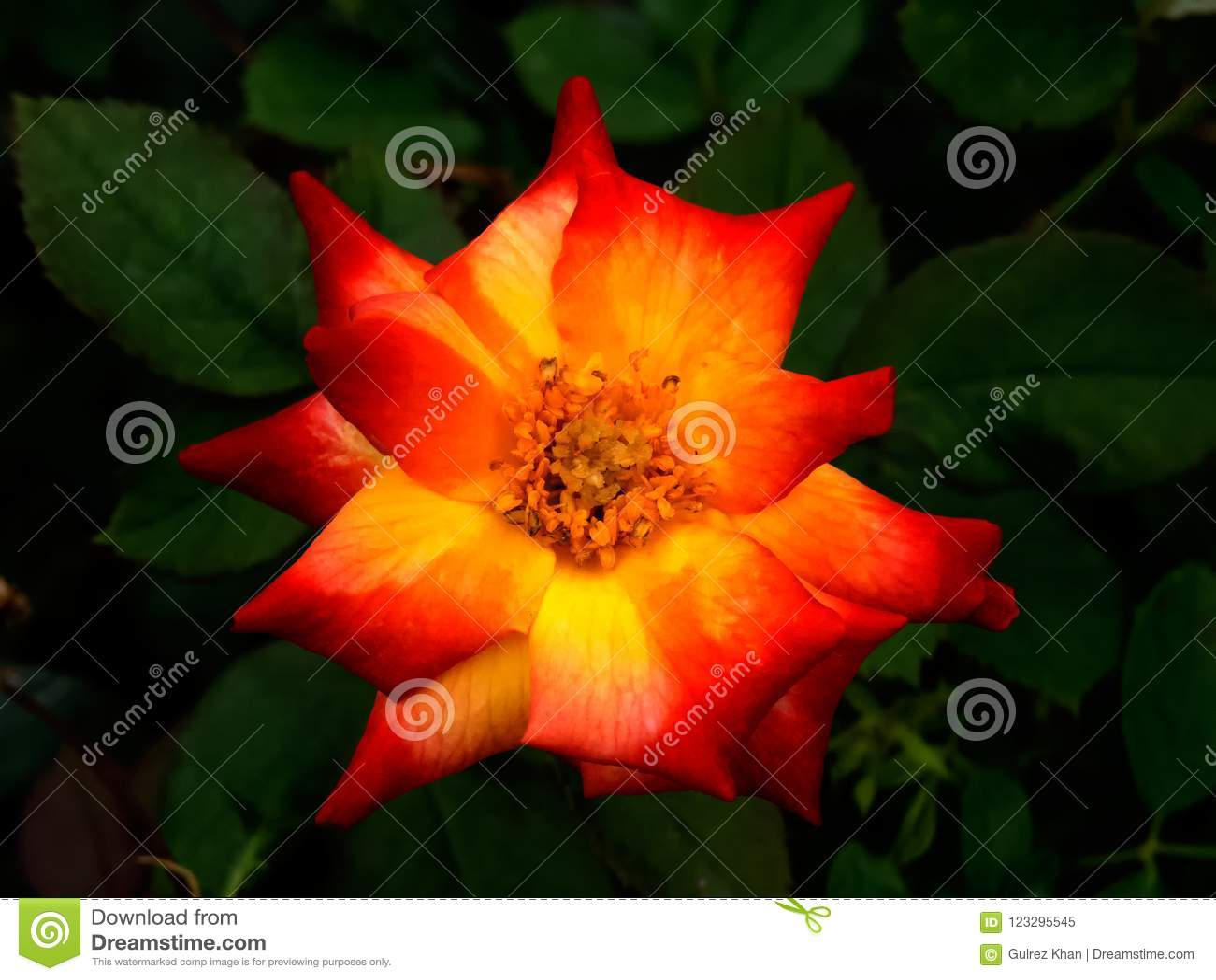 Macro of a Orange/Yellow Rose