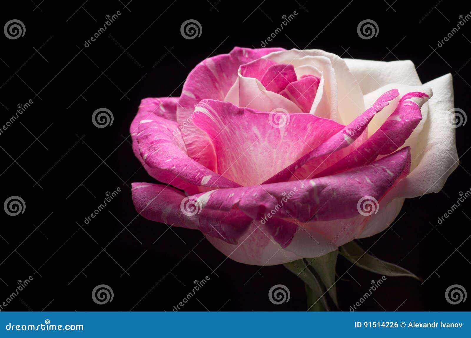 Macro oscura surrealista de la flor de la rosa del rosa aislada en fondo negro