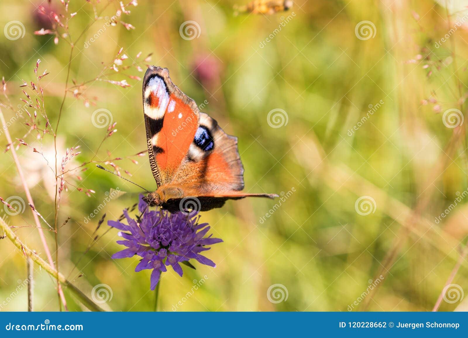 Macro of a peacock butterfly on a purple flower