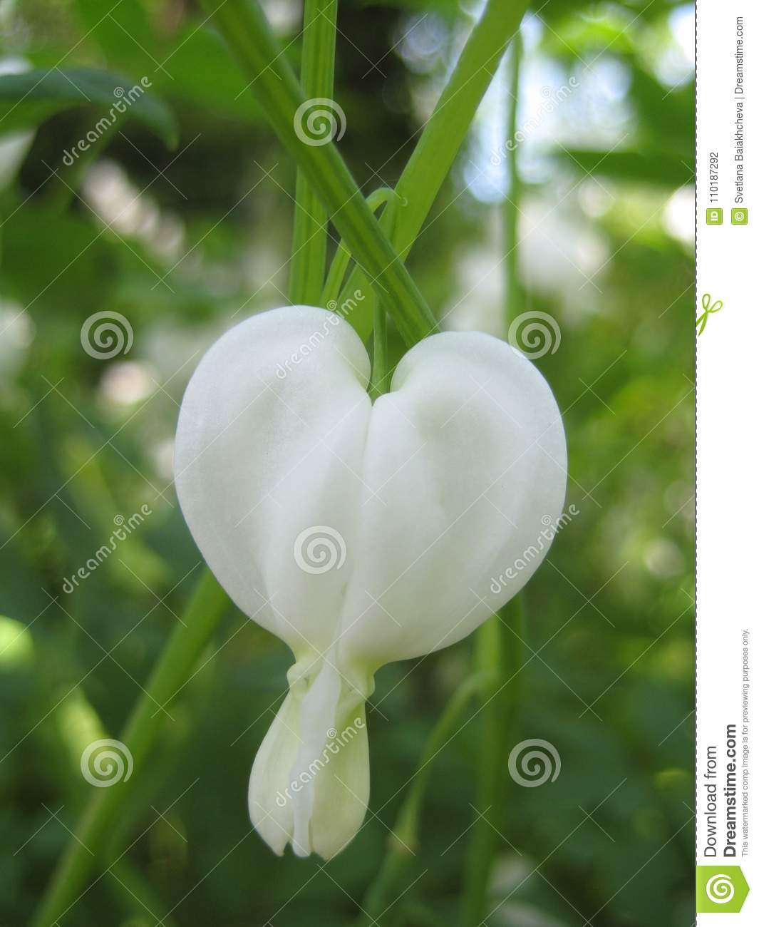 Macro Photo Background With Decorative White Flowers Perennial