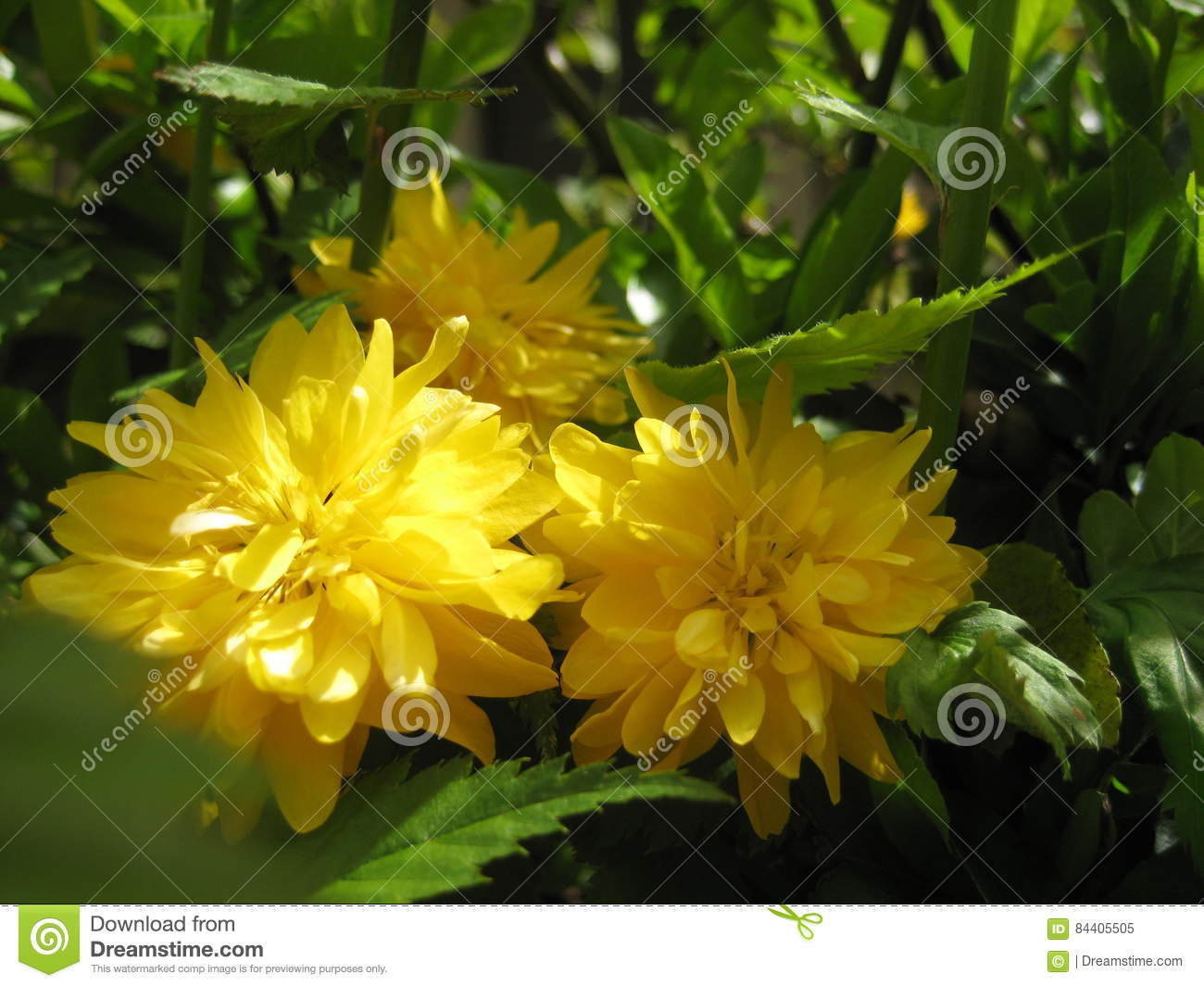 Macro photo background with a yellow drop flower Bud decorative bushes Kerrie or `Easter roses`