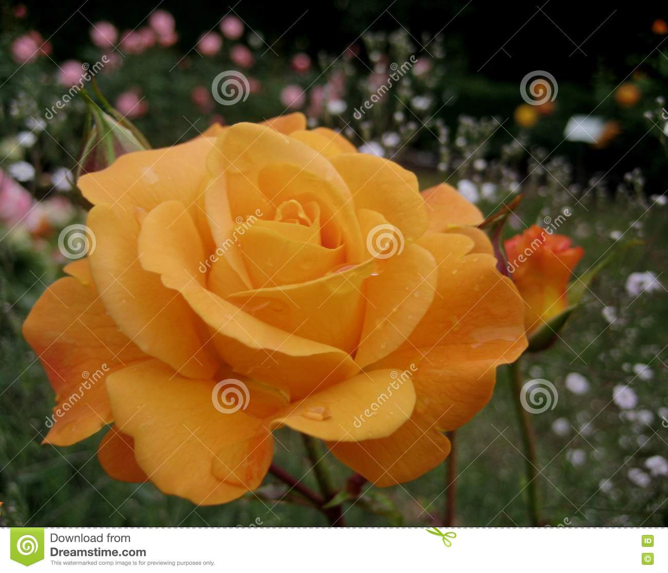 Macro photo with beautiful flower rolled Roses with delicate petals cream colored