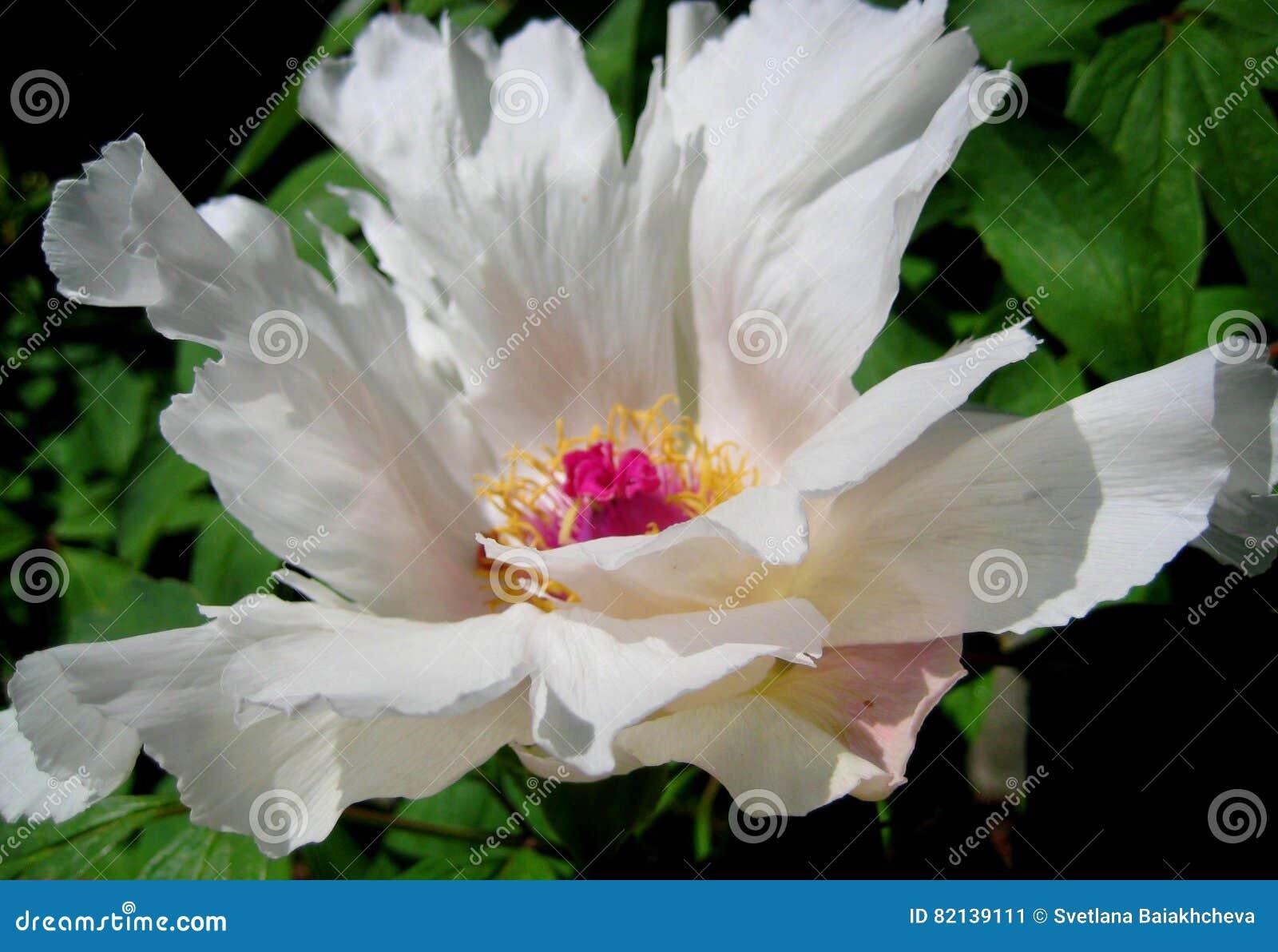 Macro photo of beautiful white Terry flower Paeónia