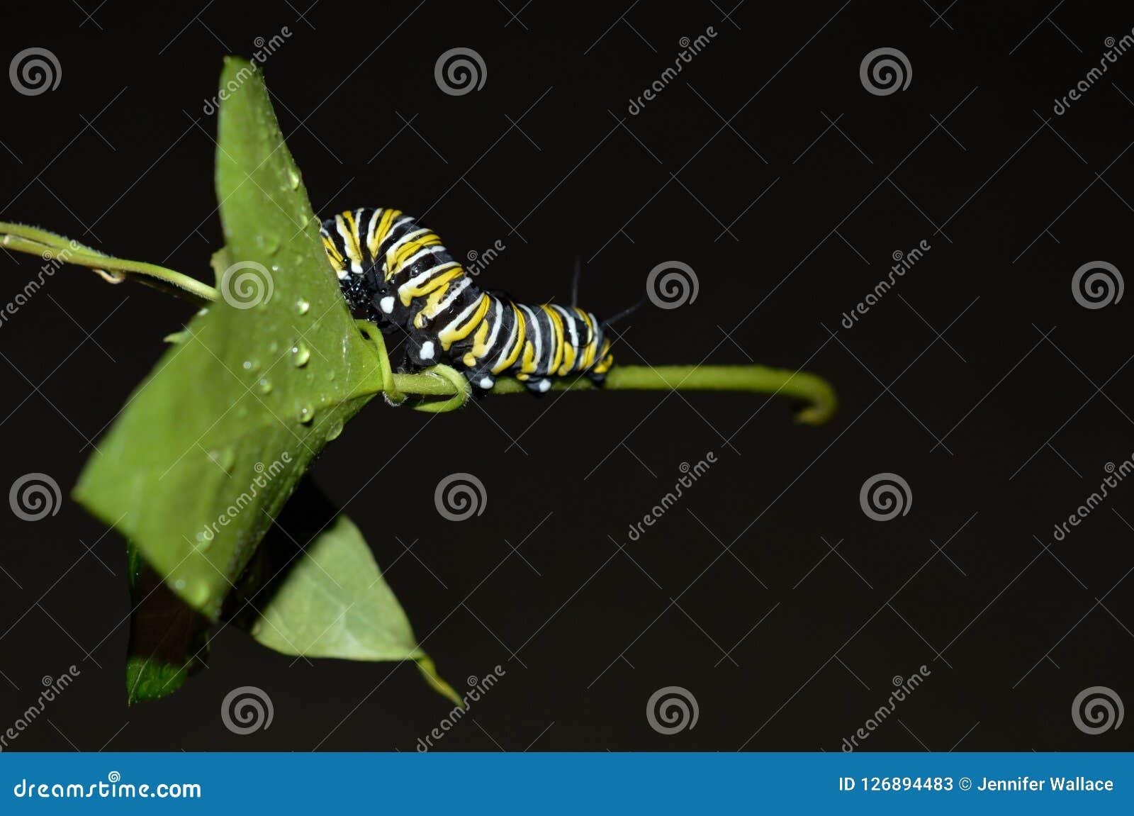 Macro photo d une chenille de monarque dehors sur une feuille verte par jour pluvieux
