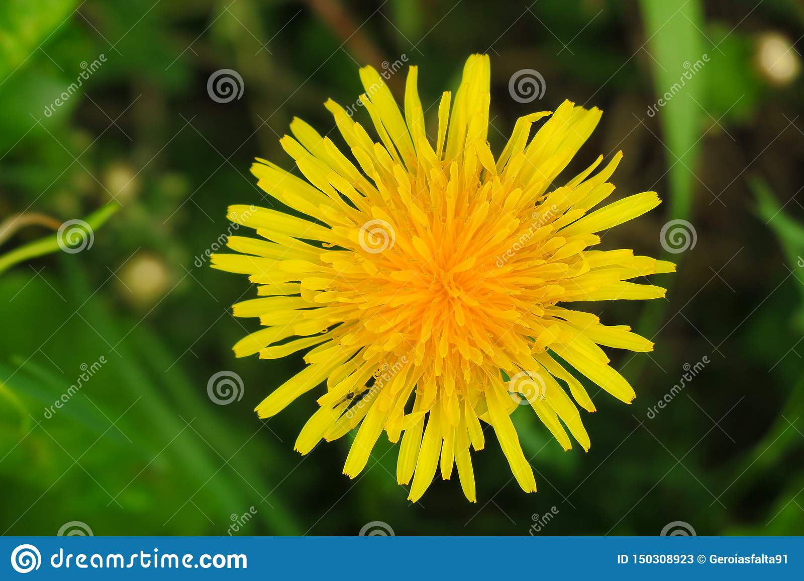 Macro photo d une usine de pissenlit Usine de pissenlit avec un bourgeon jaune pelucheux Horticulture jaune de pissenlit dans la