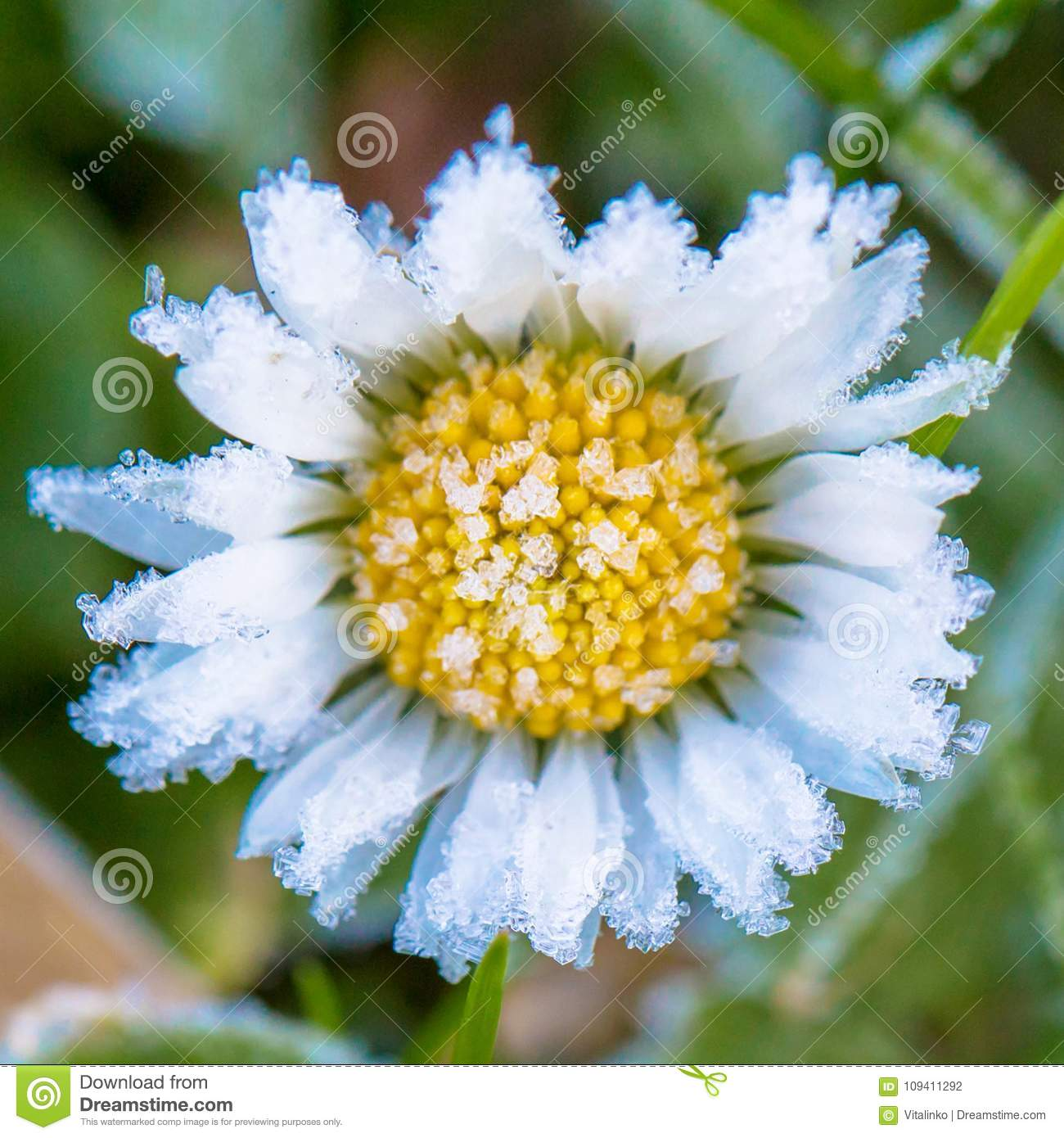 Frozen Flower Of A Daisy Close Up Stock Photo Image Of Beauty